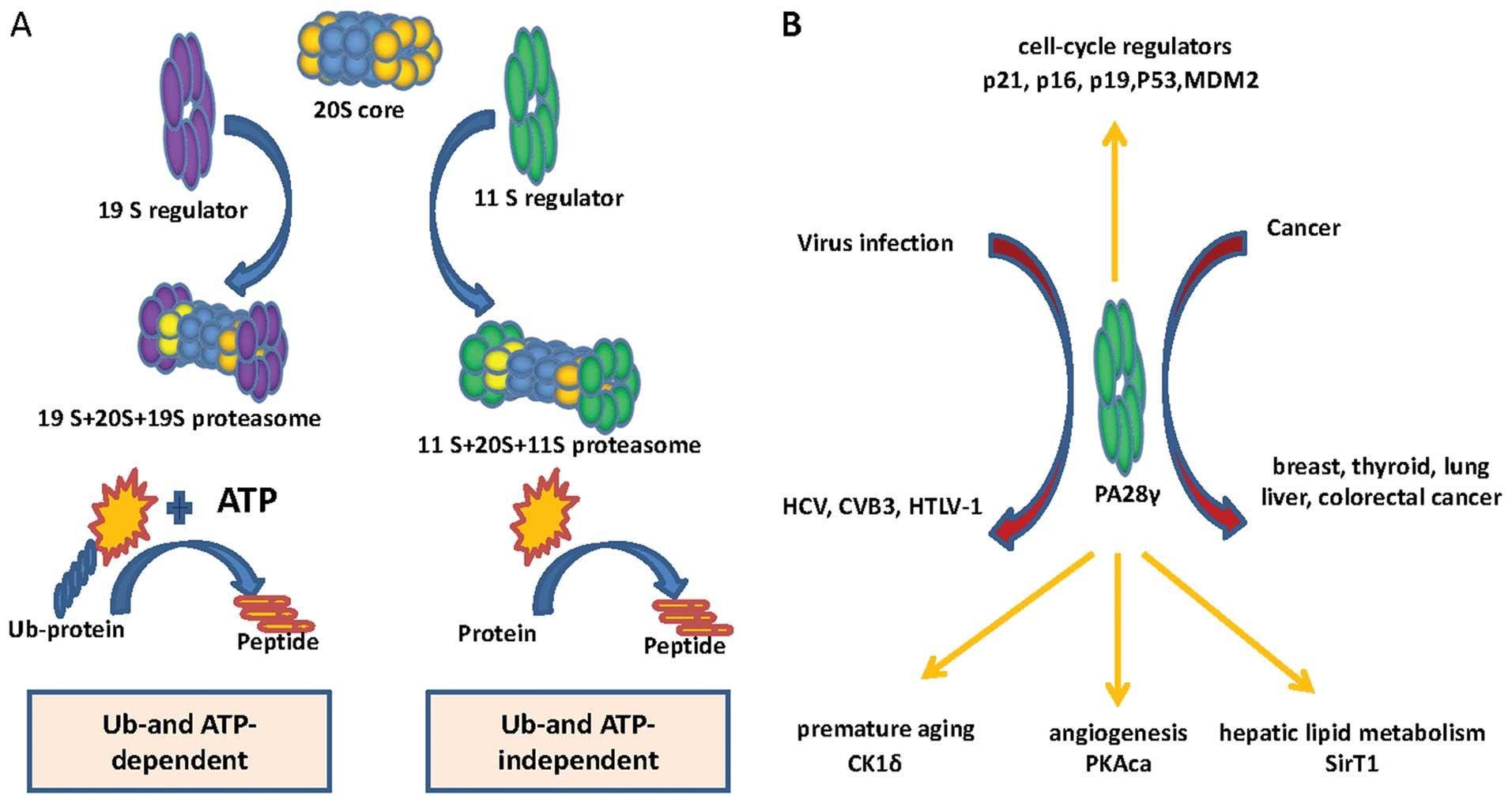 A Novel Transcript Variant Of Proteasome Activator 28 U03b3