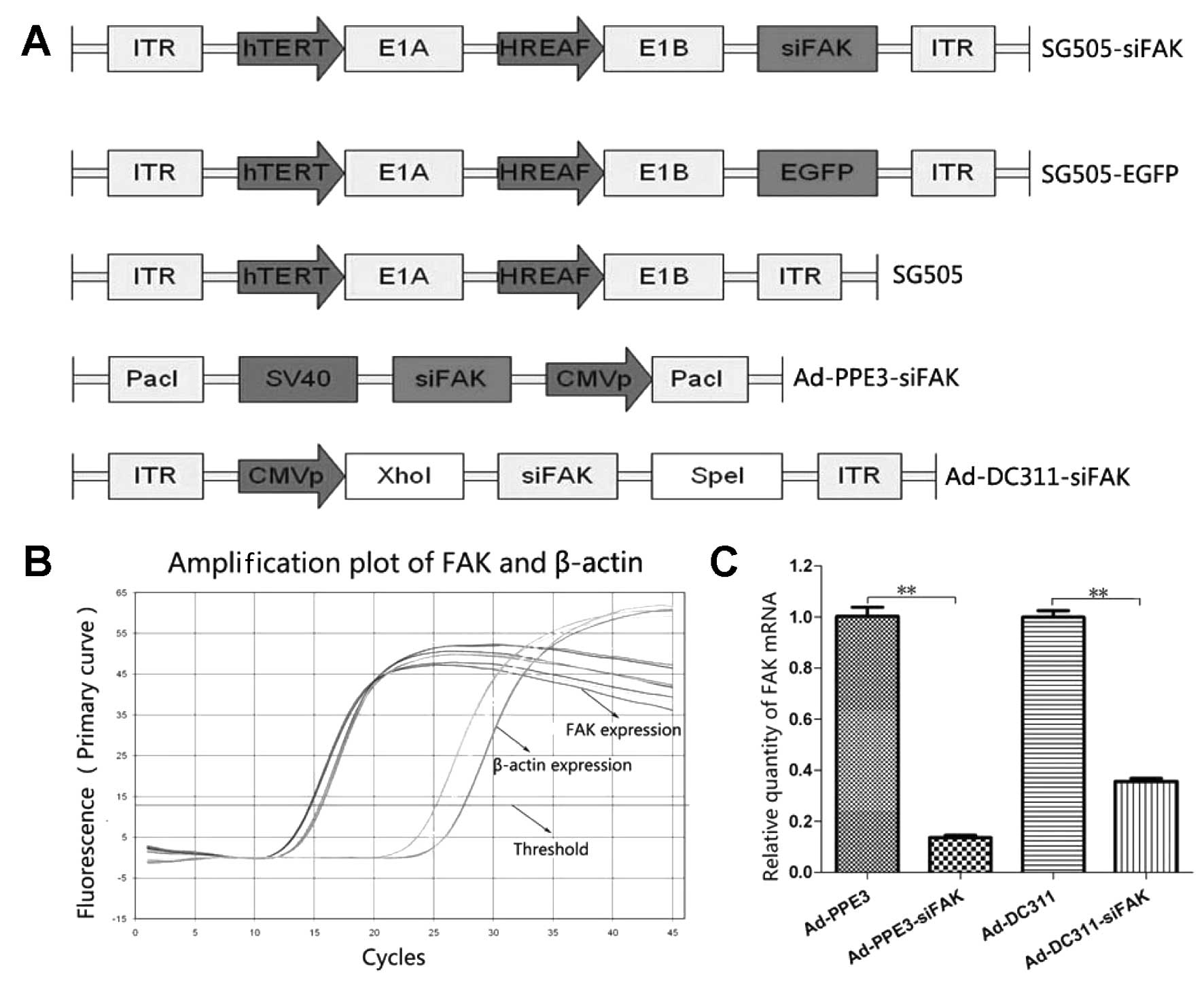 a triple regulated oncolytic adenovirus armed A novel triple-regulated oncolytic adenovirus carrying p53 gene exerts potent  when sg600 was used to be a vector and armed with the  adenovirus oncolytic assay .