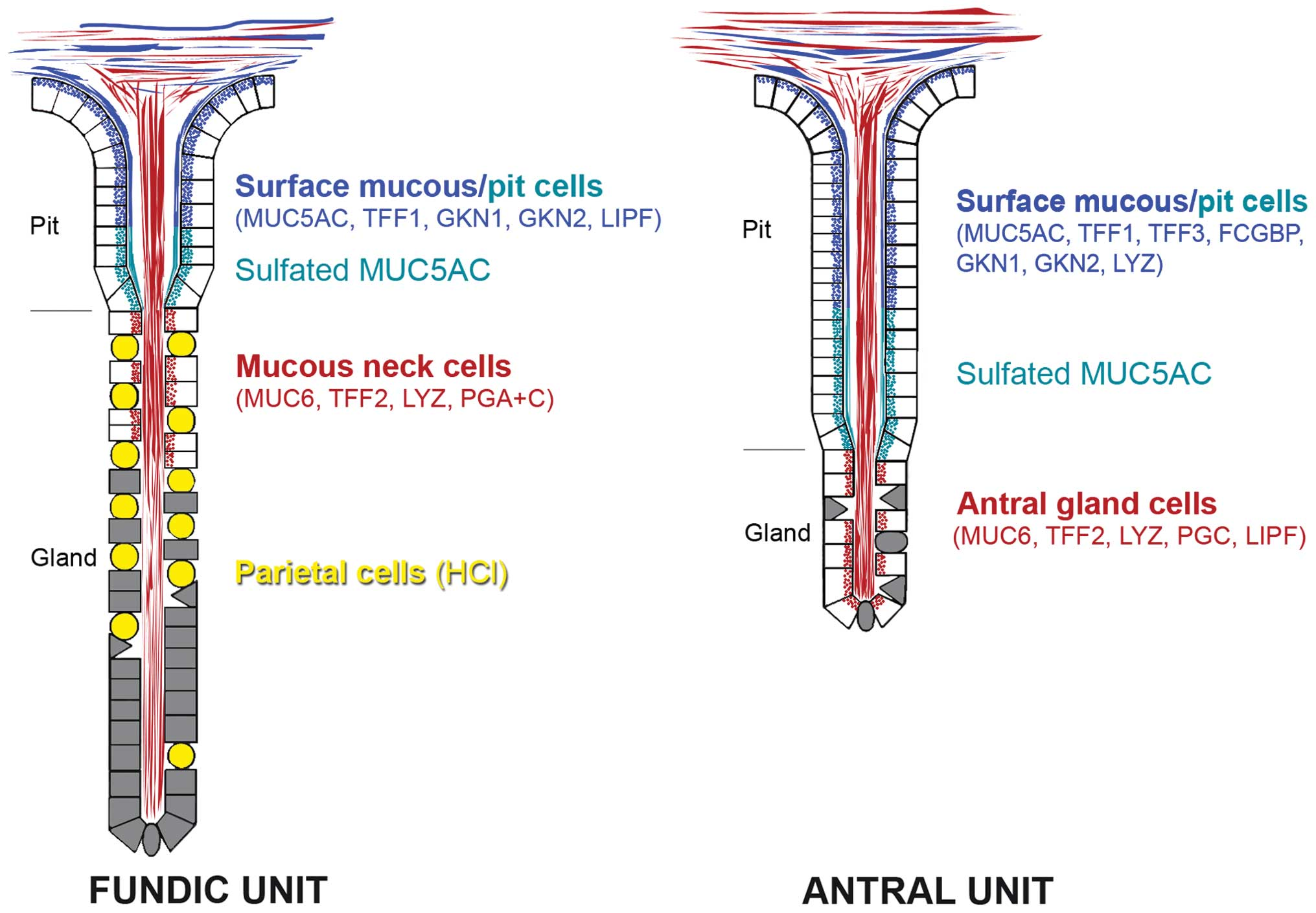 Tff2 A Muc6 Binding Lectin Stabilizing The Gastric Mucus Barrier
