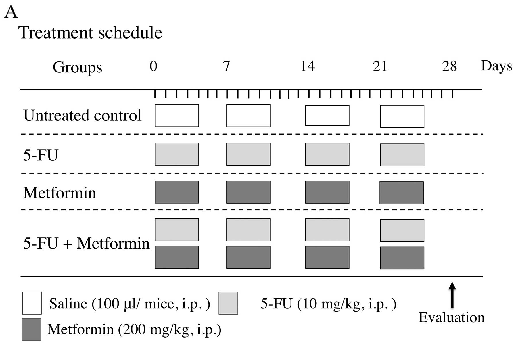 Metformin In Combination With 5 Fluorouracil Suppresses Tumor Growth By Inhibiting The Warburg Effect In Human Oral Squamous Cell Carcinoma