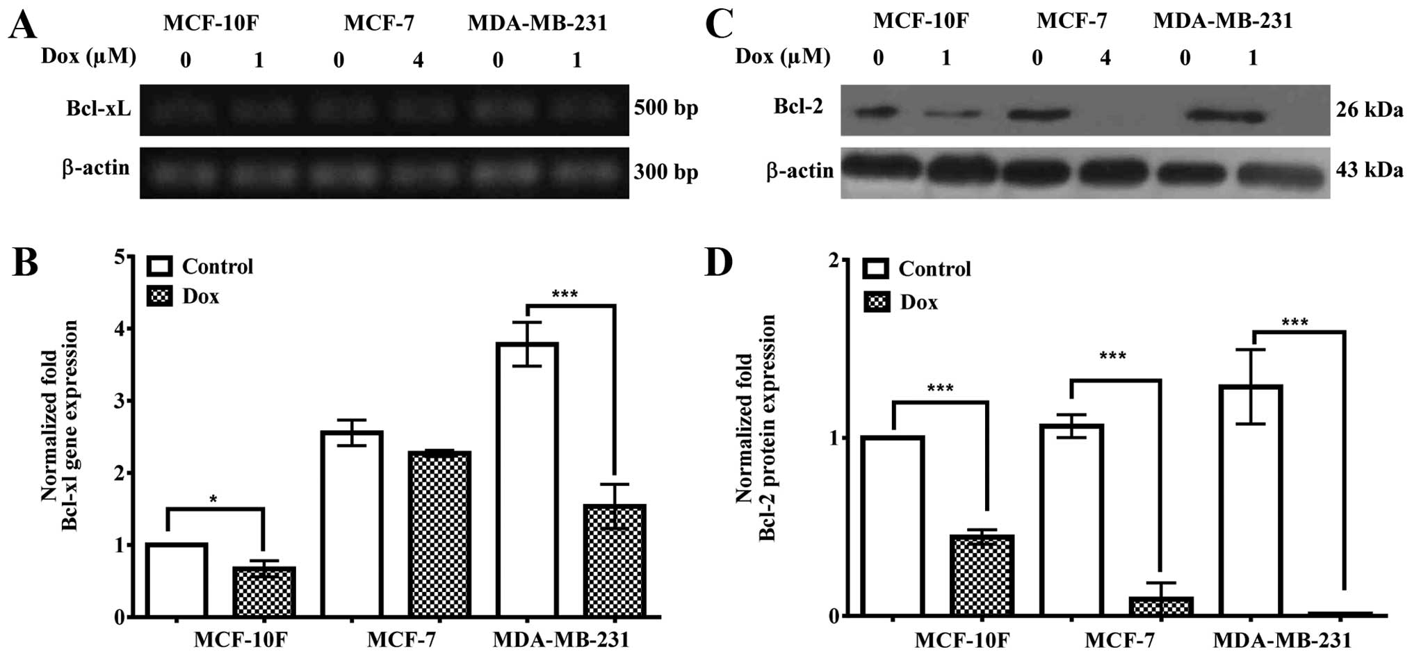 Effect Of Dox On Bcl Xl Gene Expression A And Quantified B In Mcf 10f 7 Mda Mb 231 Cell Lines By Ddrt Pcr 2 Protein Was