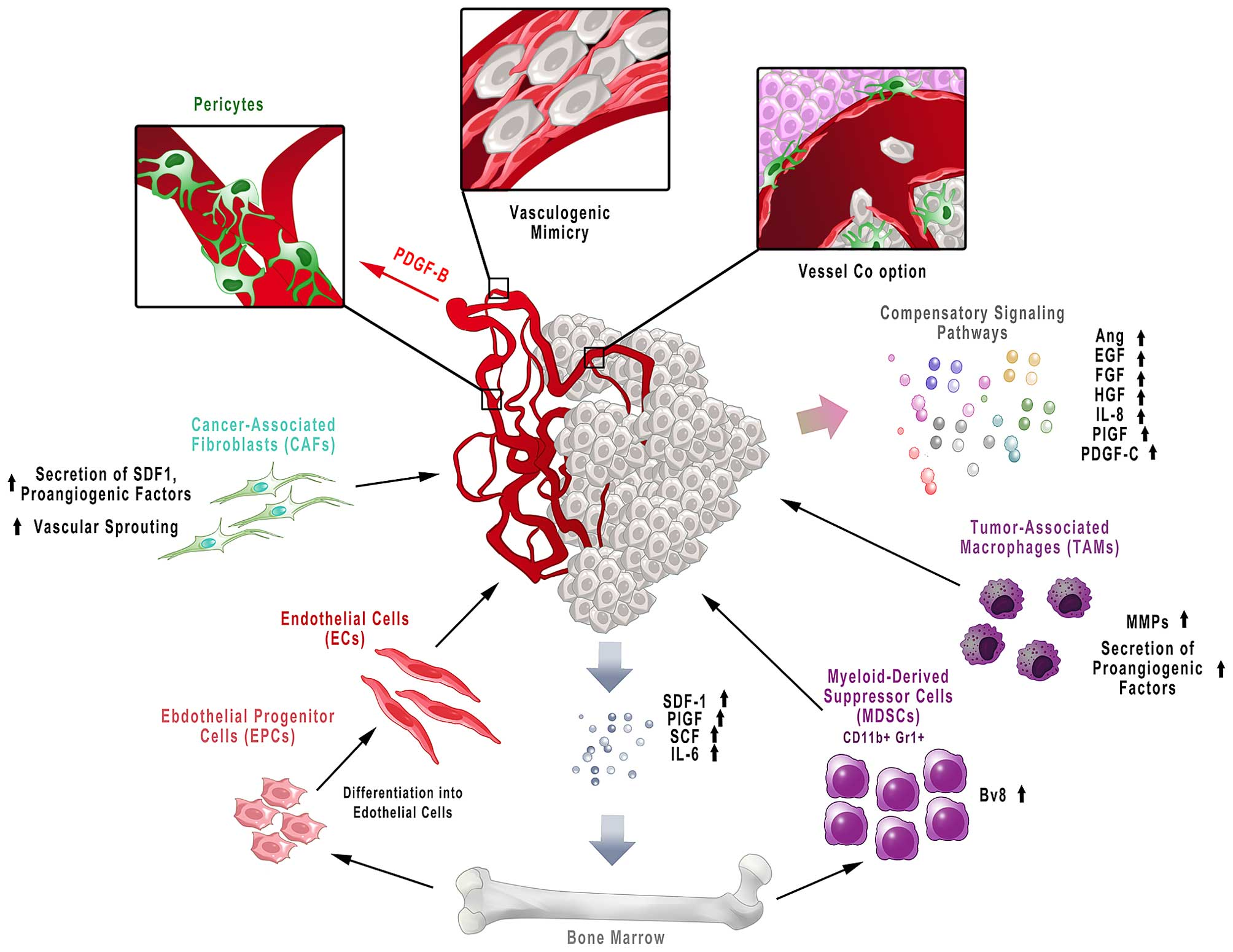 Effects of anti-angiogenic therapy. The mechanism of