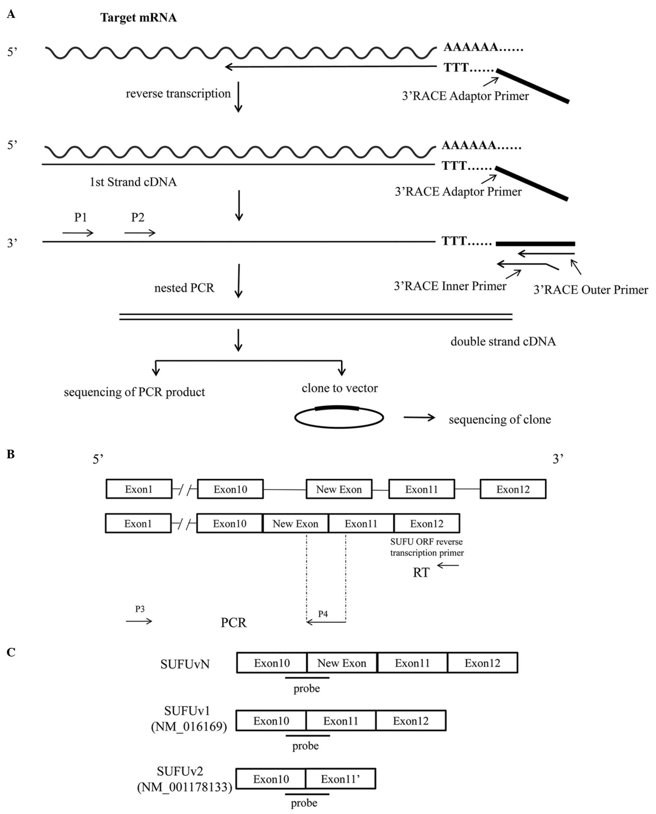 Identification of a novel alternative splicing transcript
