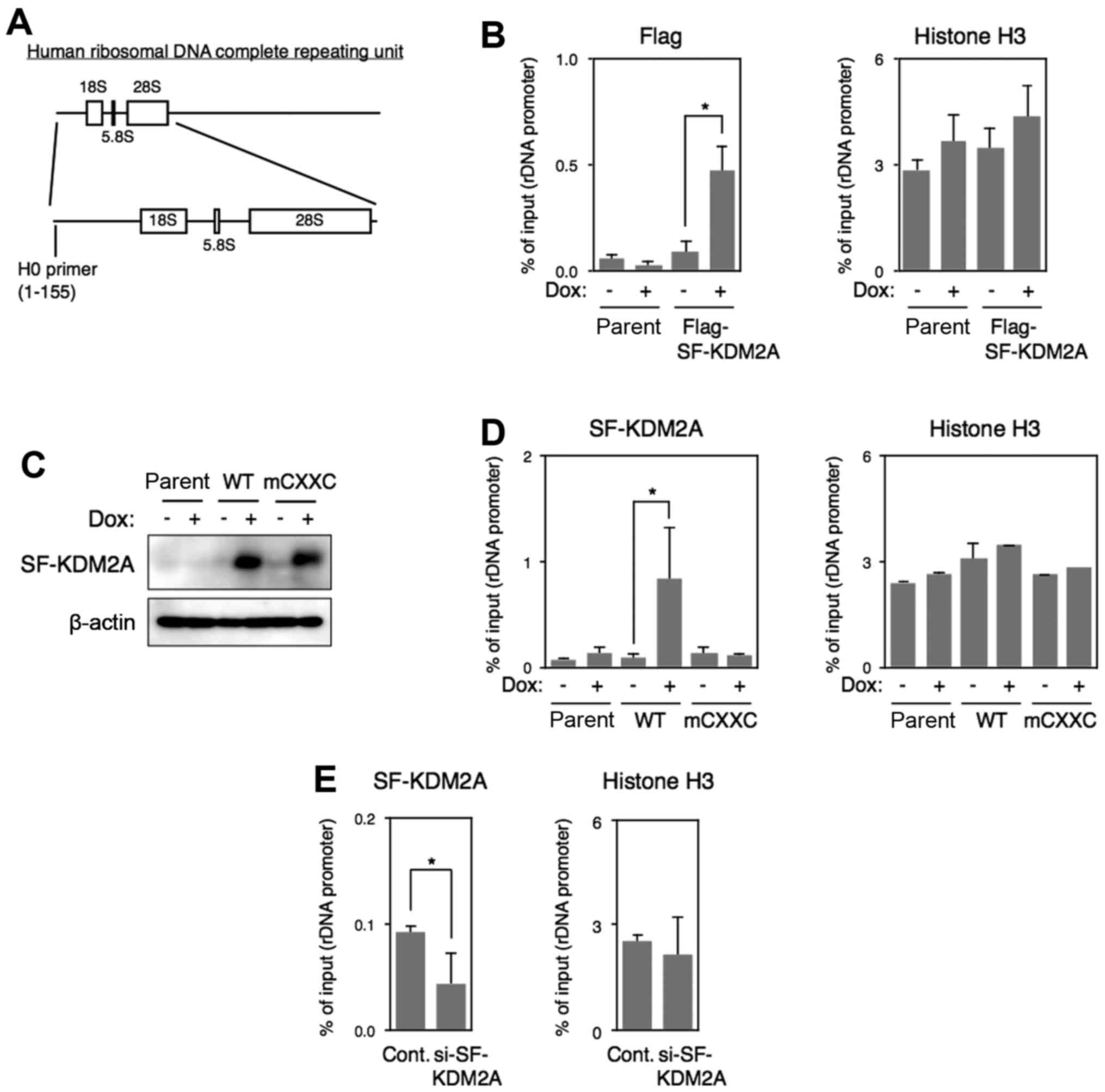 IJO 50 04 1372 g03 sf kdm2a binds to ribosomal rna gene promoter, reduces h4k20me3