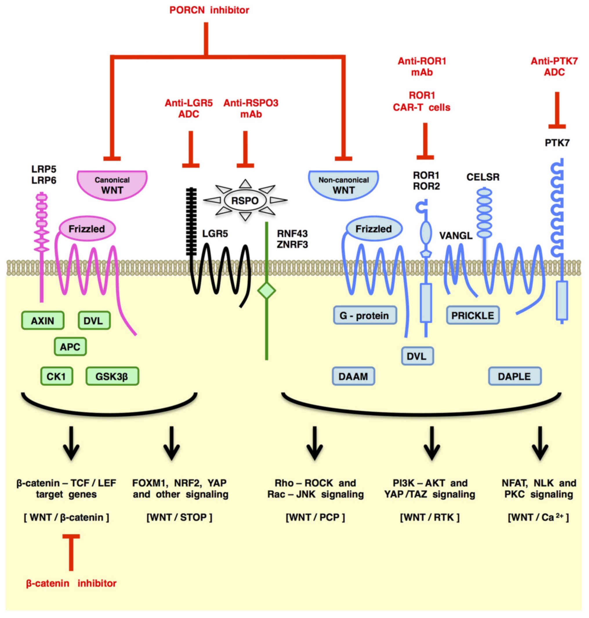 Canonical And Non Canonical Wnt Signaling In Cancer Stem