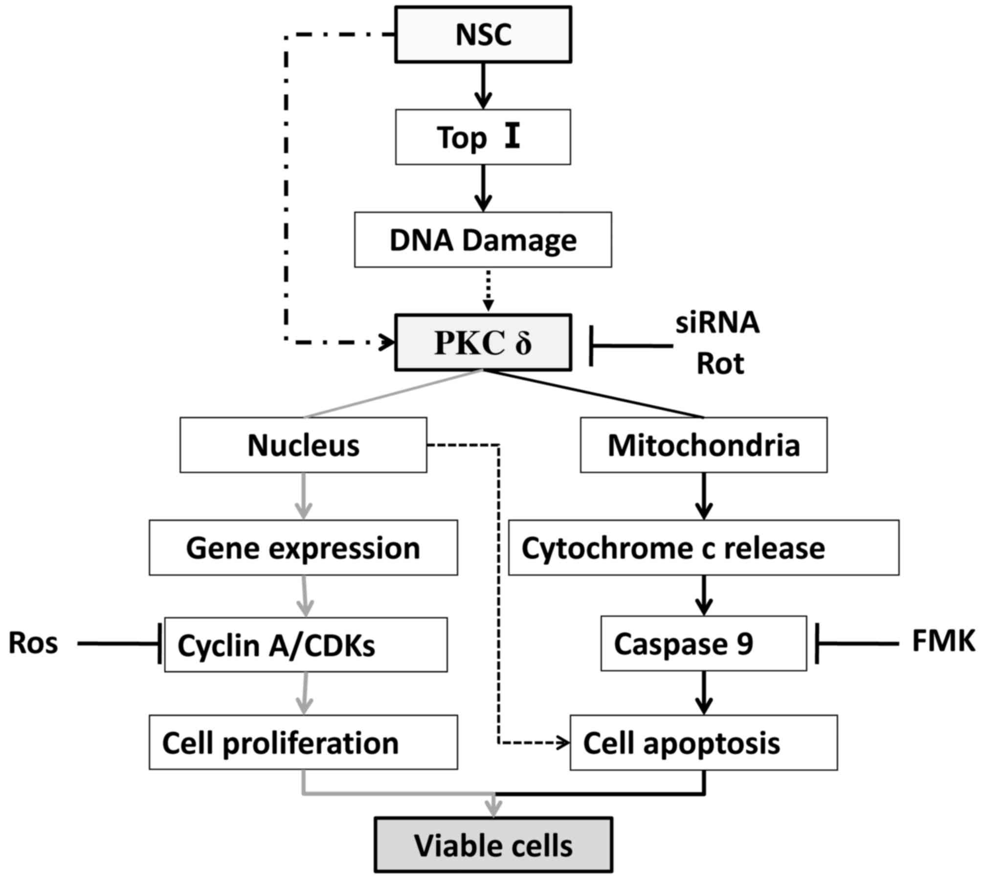 Dual action of NSC606985 on cell growth and apoptosis mediated ...