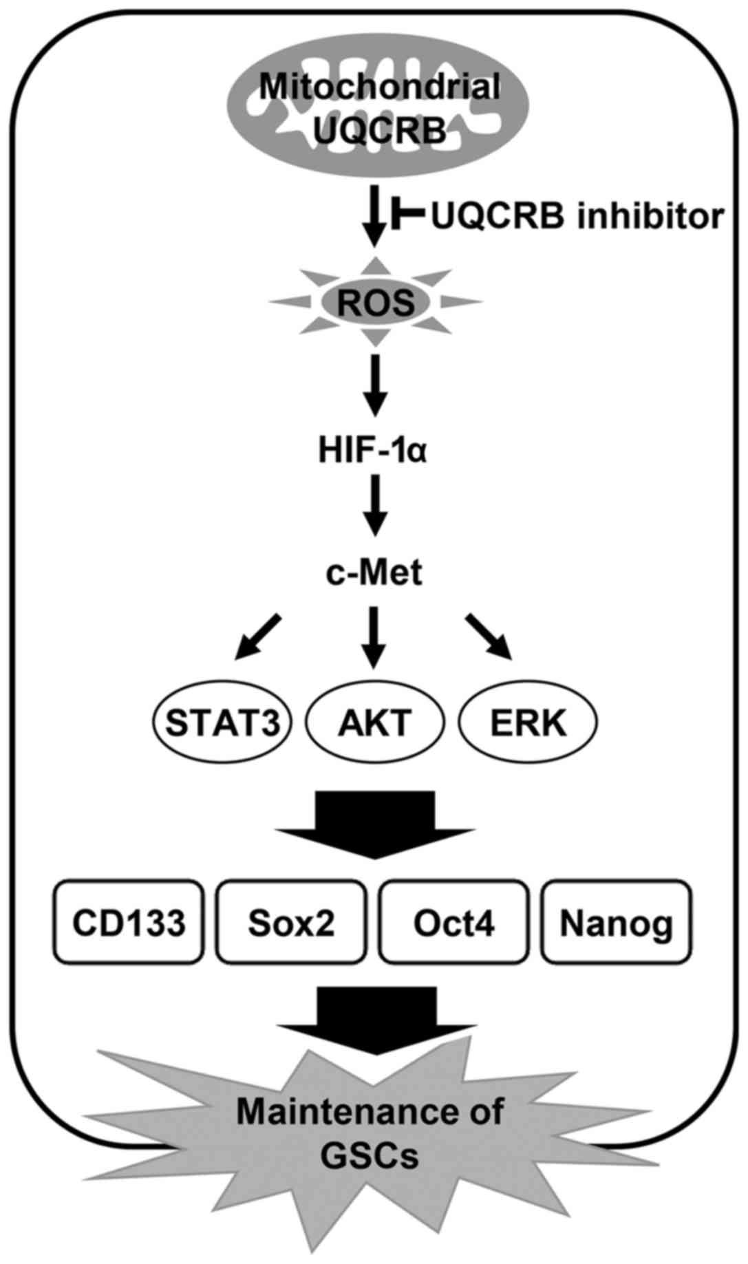 Downregulation of mitochondrial UQCRB inhibits cancer stem