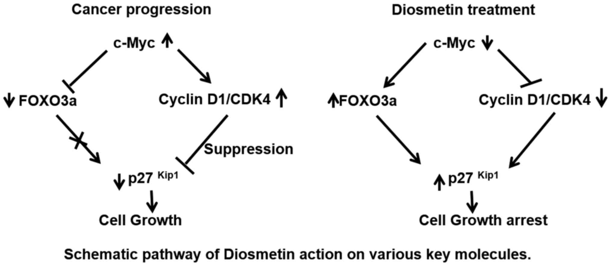 Diosmetin Suppresses Human Prostate Cancer Cell Proliferation
