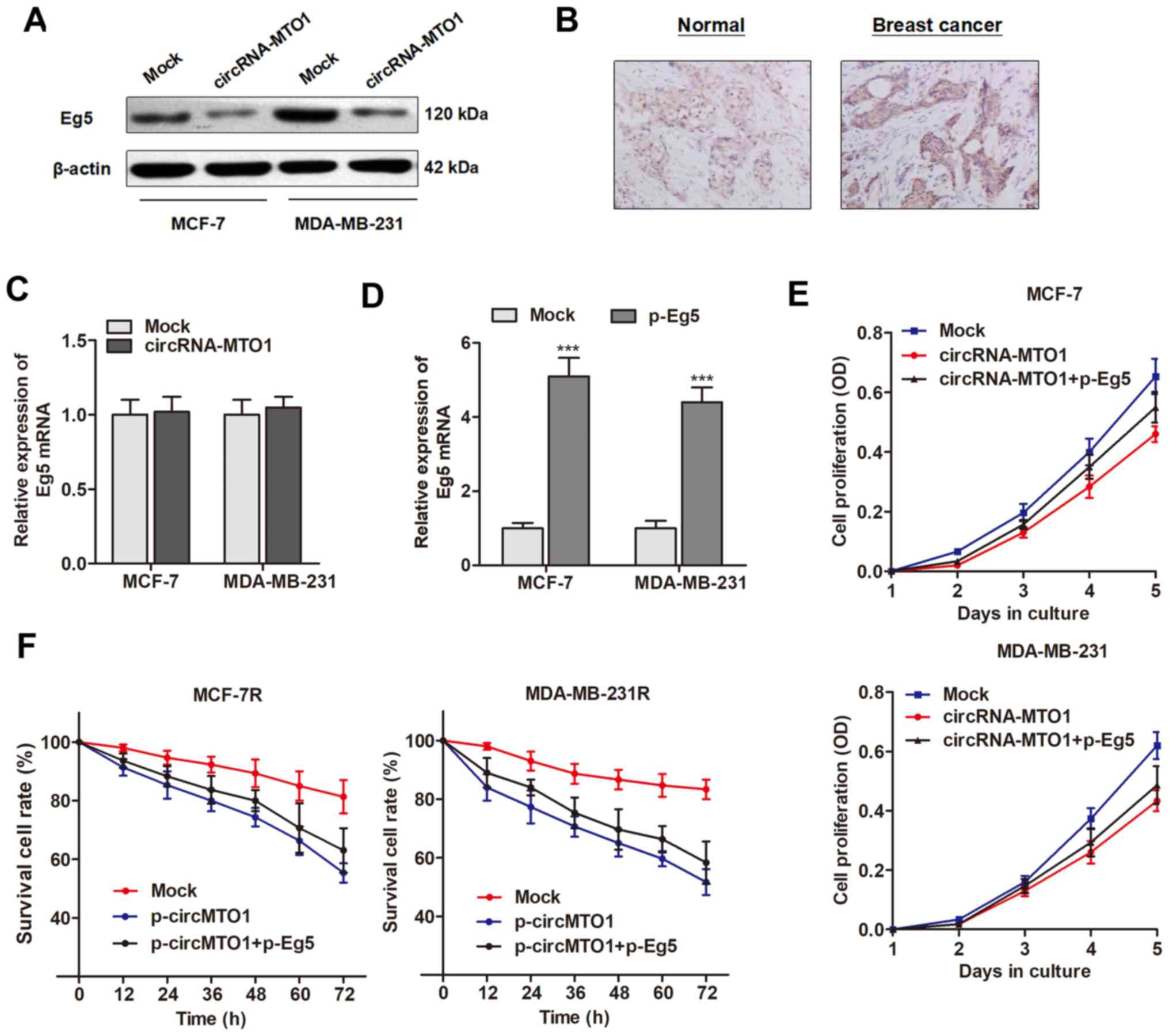 Circular Rnamto1 Suppresses Breast Cancer Cell Viability And Http Circuitdiagramorg Automaticnimhbatterychargercircuithtml Eg5 Protein Is A Functional Target Of Circrna Mto1 Was Downregulated By Overexpression In Mcf 7 Mda Mb 231 Cells