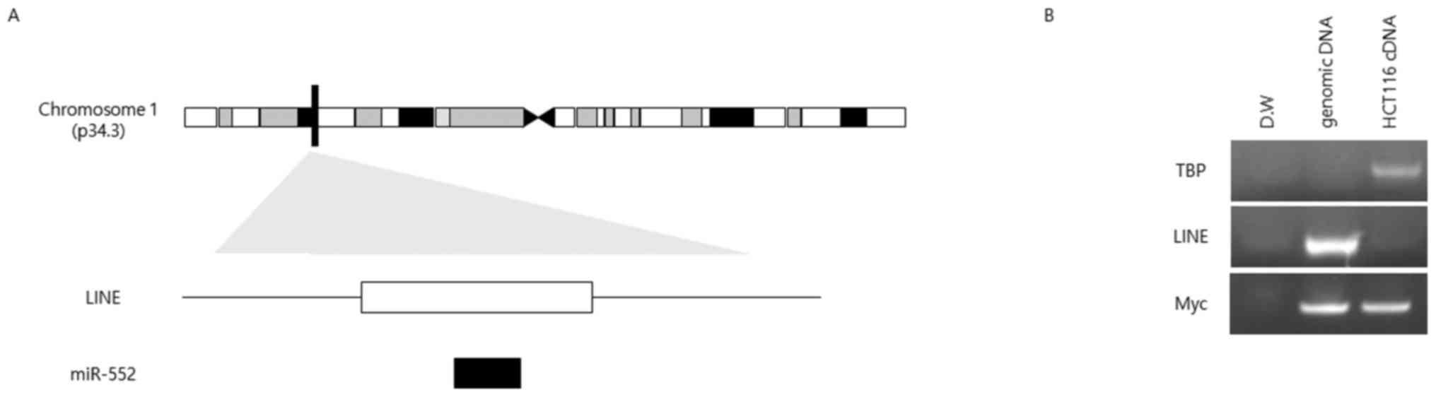 MicroRNA-552 links Wnt signaling to p53 tumor suppressor in
