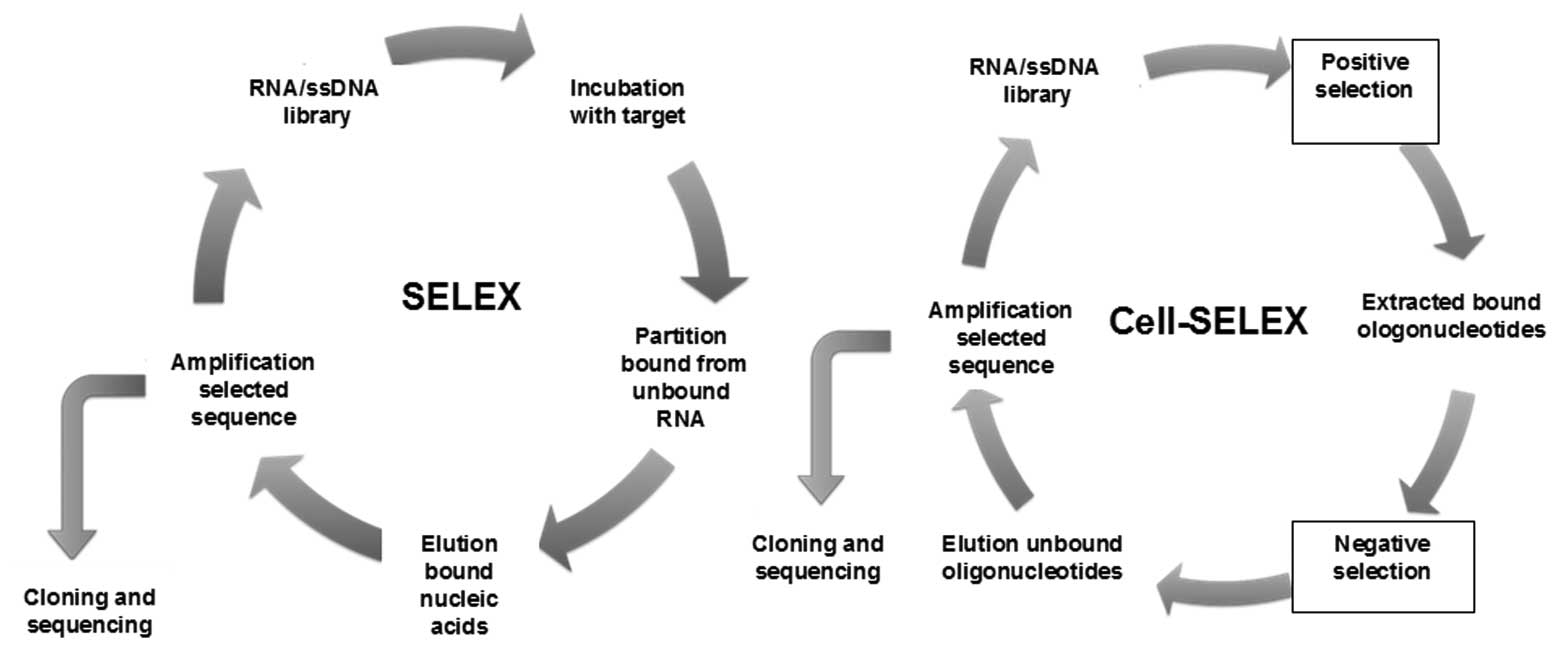 clinical applications of nucleic acid aptamers in cancer review a schematic depiction of systematic evolution of ligands by exponential enrichment selex and cell selex cell based selection of aptamers specific to