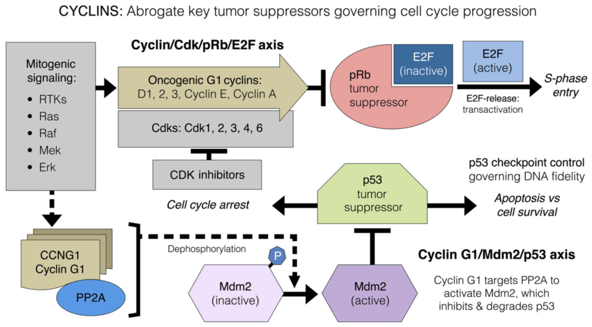 Cell Cycle Checkpoint Control The Cyclin G1 Mdm2 P53 Axis