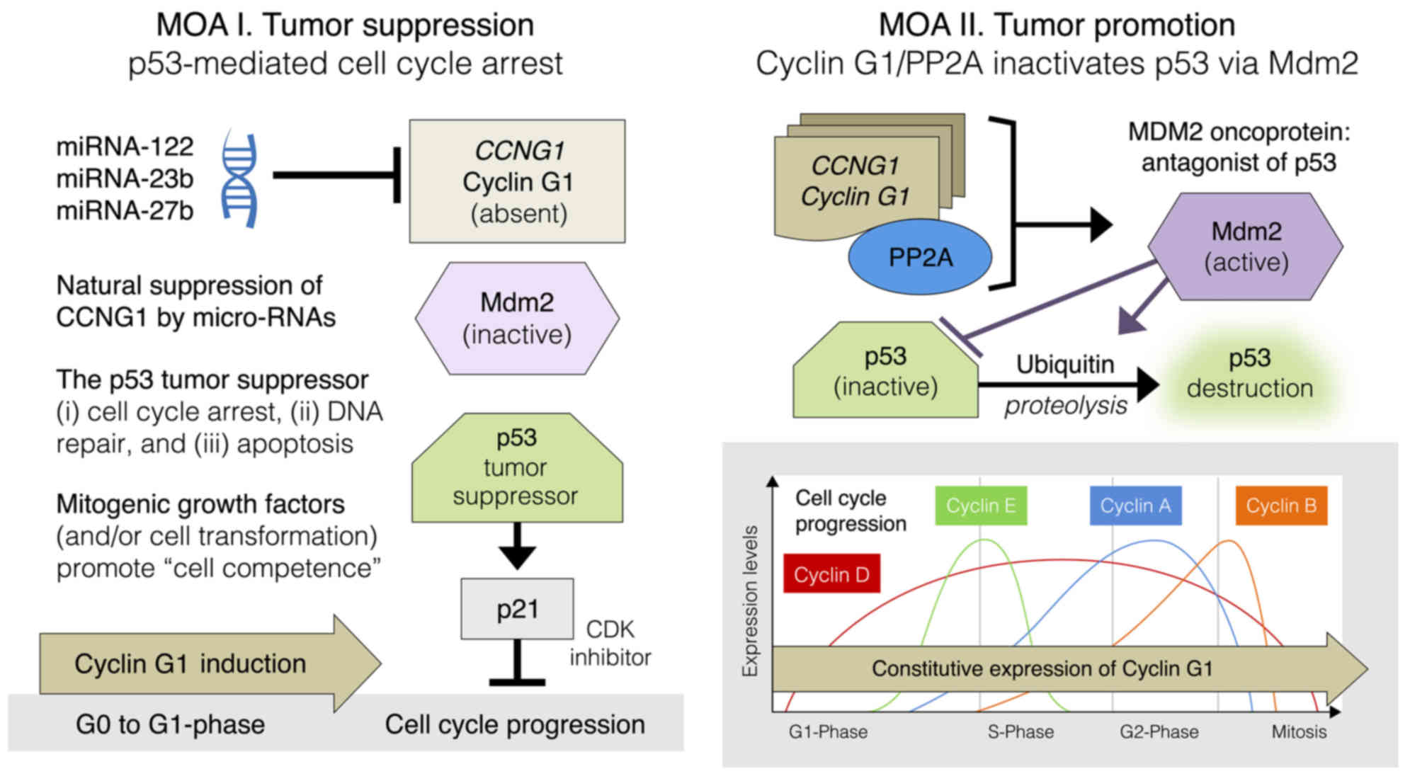 Cell cycle checkpoint control: The cyclin G1/Mdm2/p53 axis