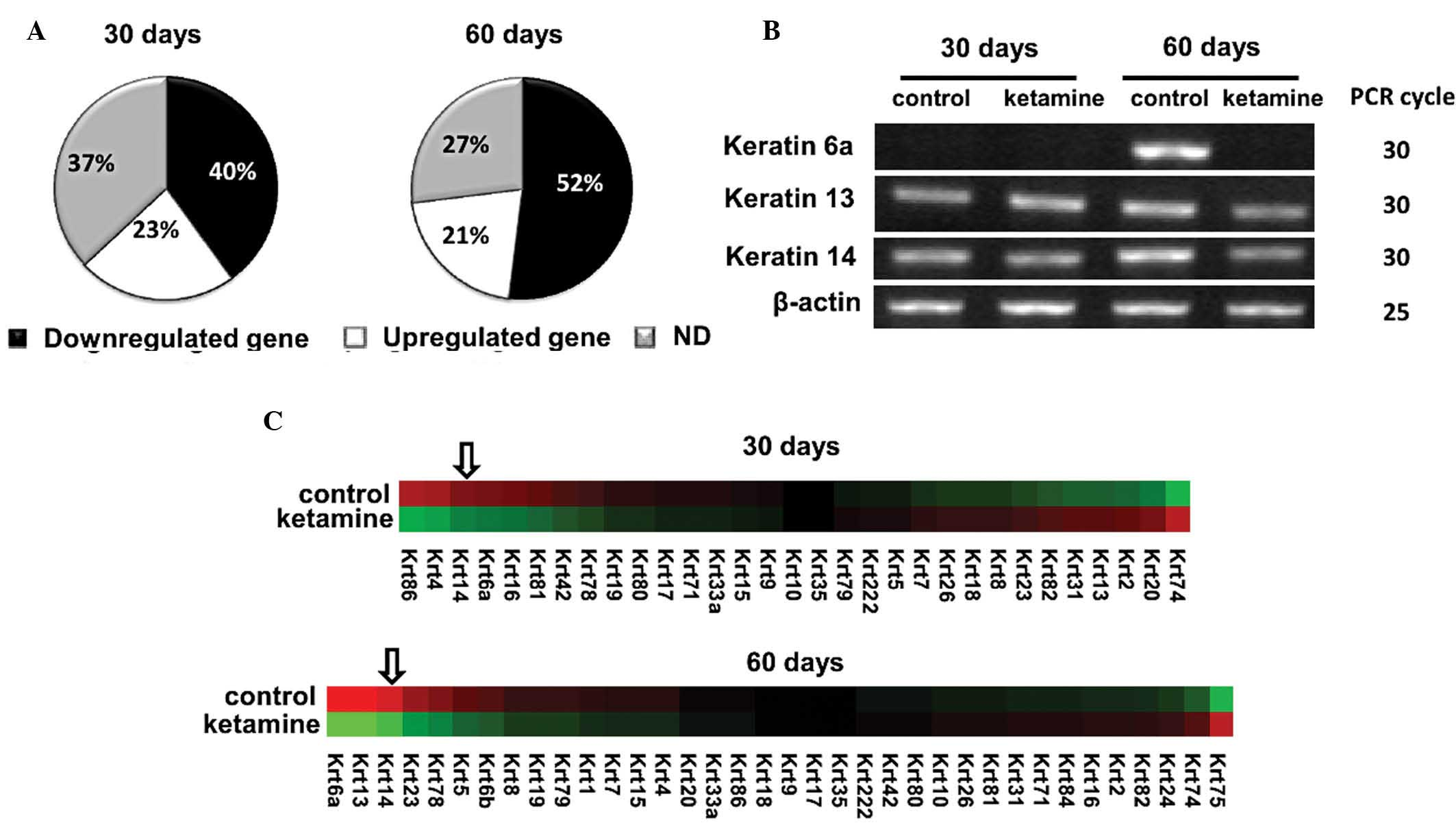 Biological effect of ketamine in urothelial cell lines and global comparison of keratin family gene expression in the control and ketamine treated mouse bladders a the pie chart of keratin family genes reveals the geenschuldenfo Image collections