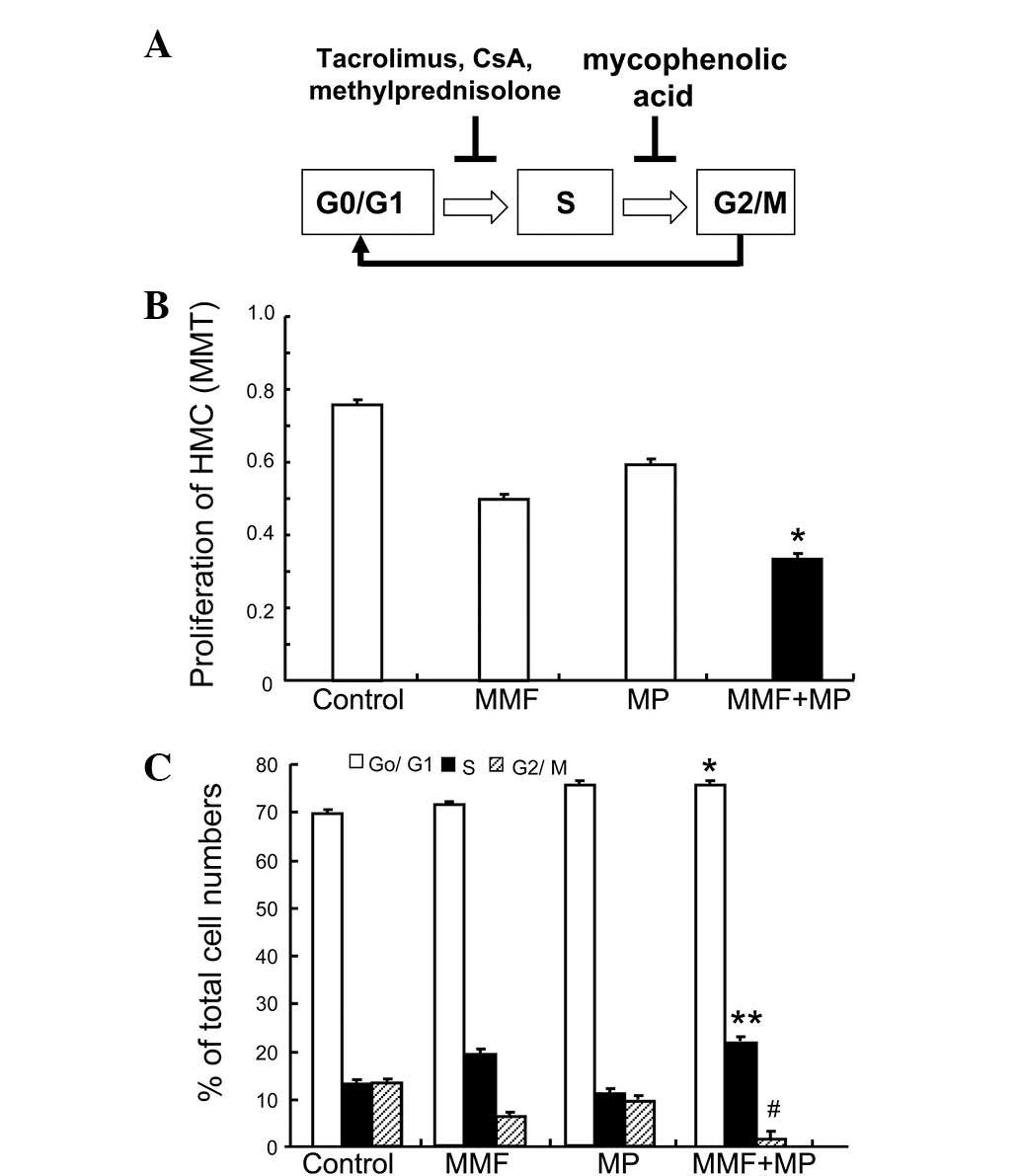 Effect Of Immunosuppression On The Human Mesangial Cell Cycle 4 Block Diagram Six Sigma A Schematic Displaying Actions Immunosuppressive Agents Hmcs Calcineurin Inhibitors Tac And Csa Mp Inhibit Hmc