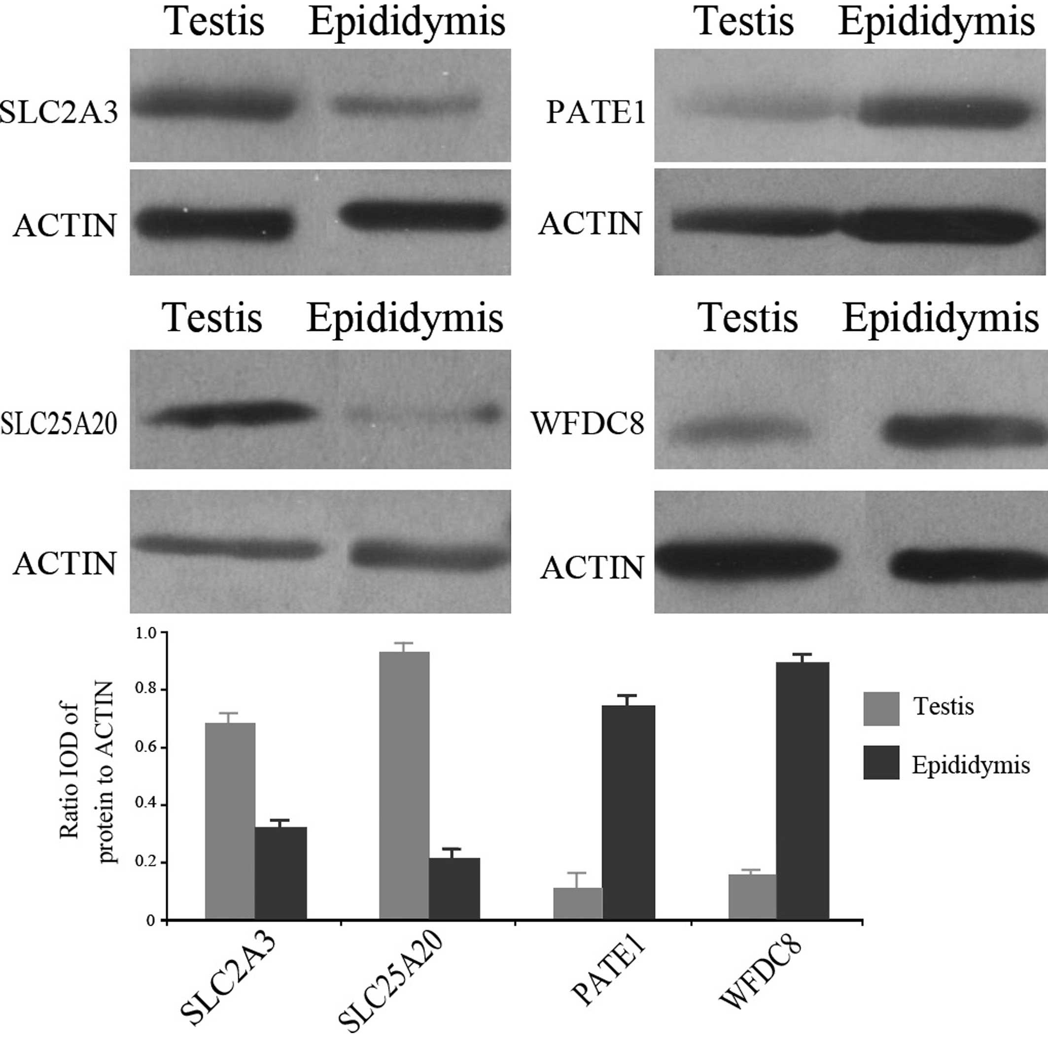 Indepth Mapping Of Human Testicular And Epididymal Proteins And