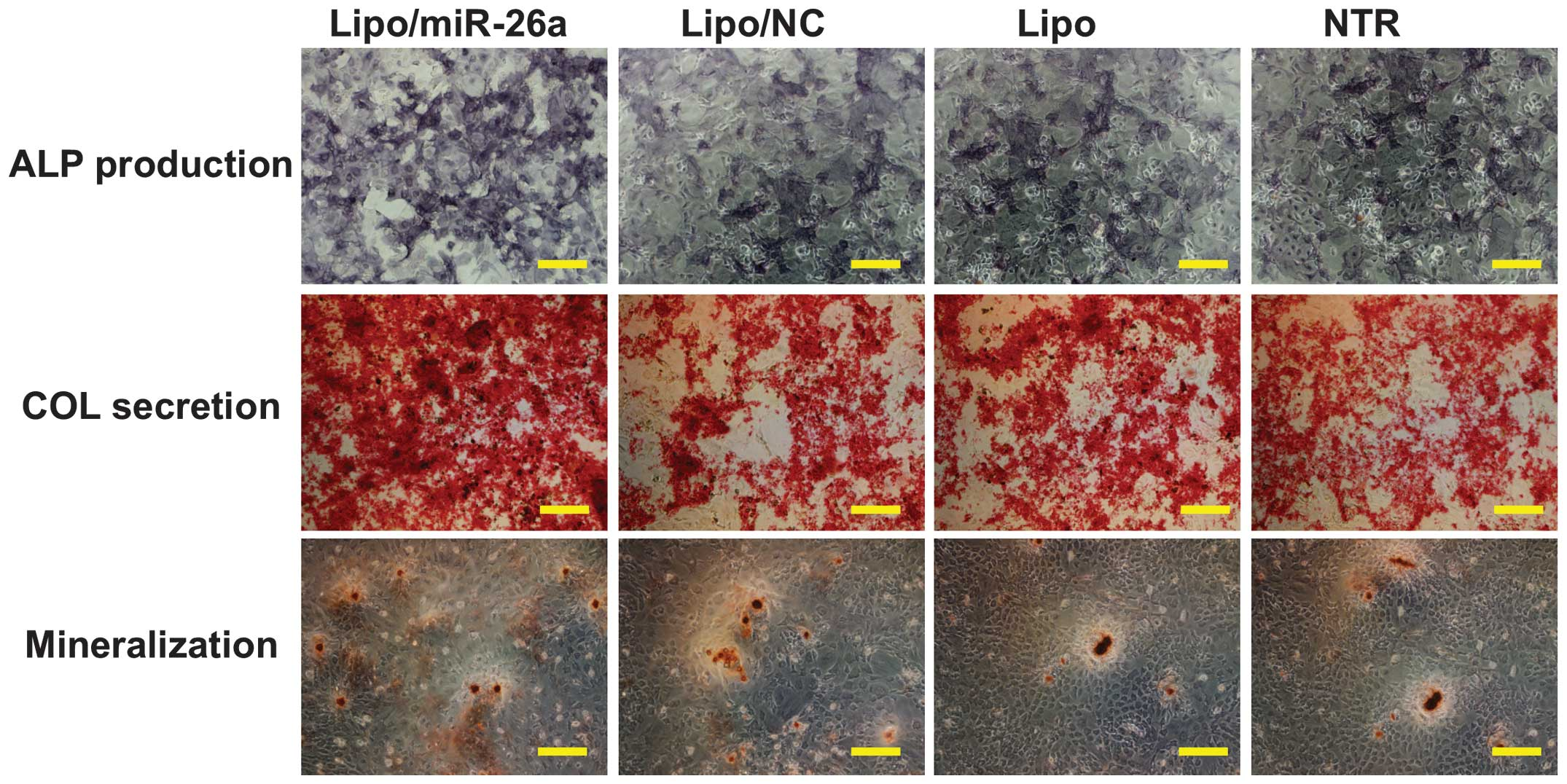 Alkaline phosphatase staining to confirm stemness of mESC