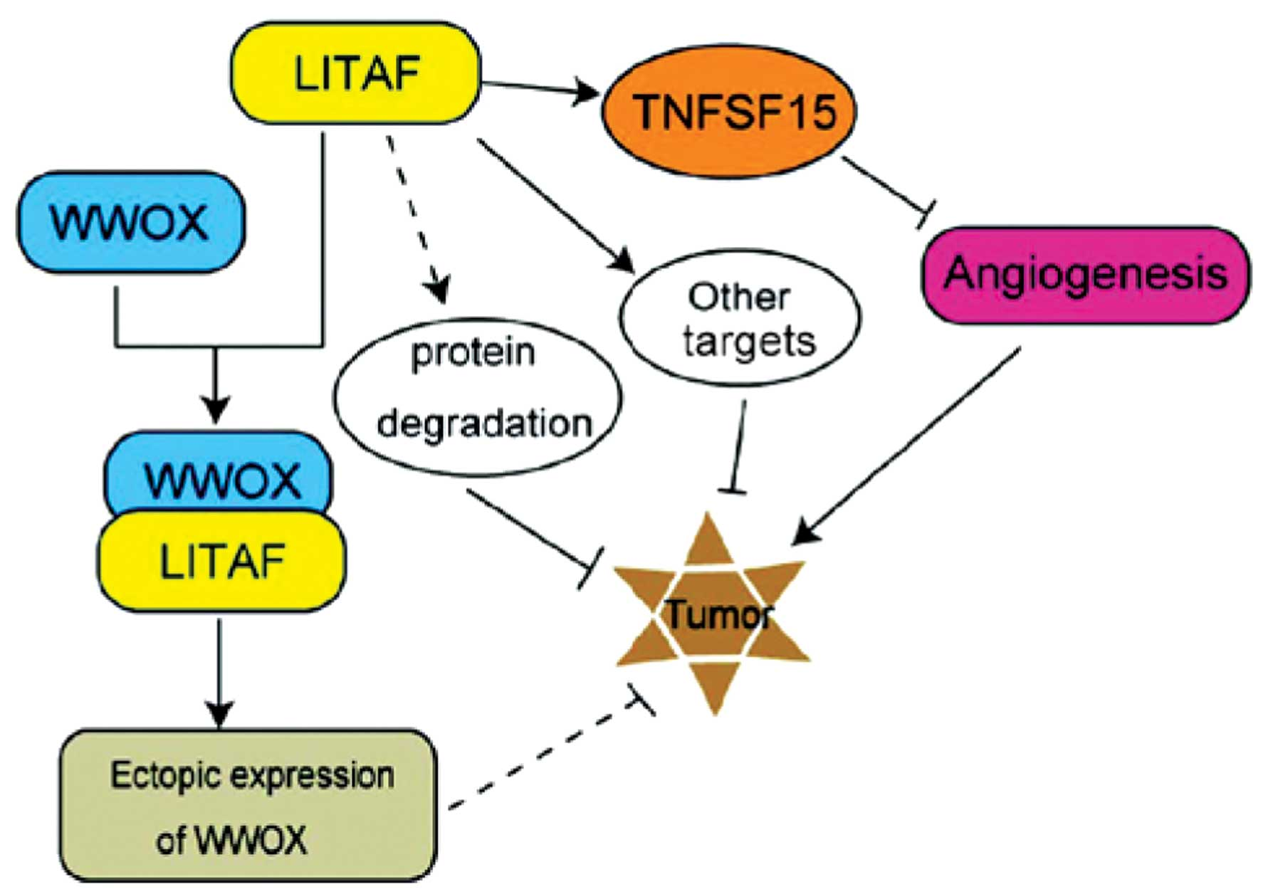 a discussion on the tumor necrosis factor The effects of tumor necrosis factor-α discussion effects of tumor necrosis factor-α on glucose metabolism in cultured human muscle cells.