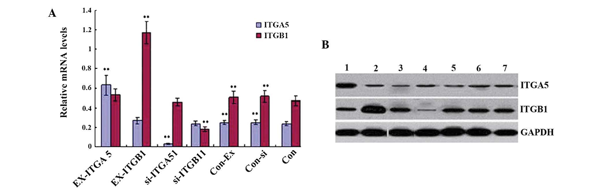 Effects Of Integrin 51 On The Proliferation And Migration Of Human