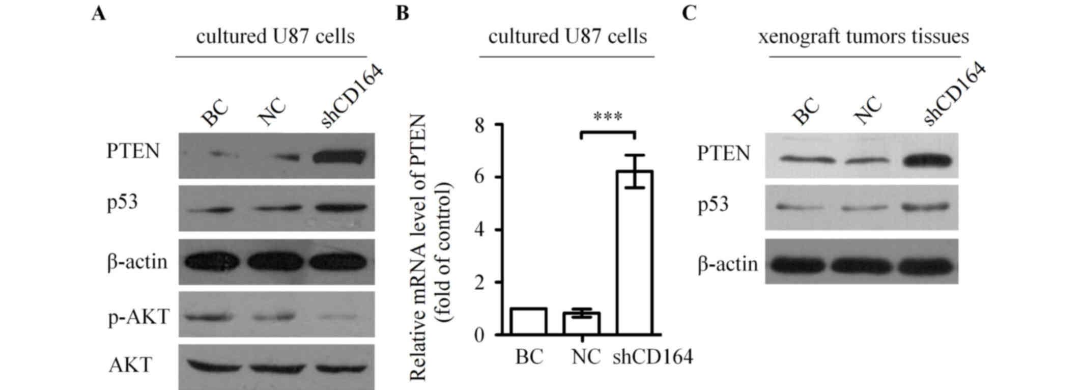 CD164 regulates proliferation and apoptosis by targeting