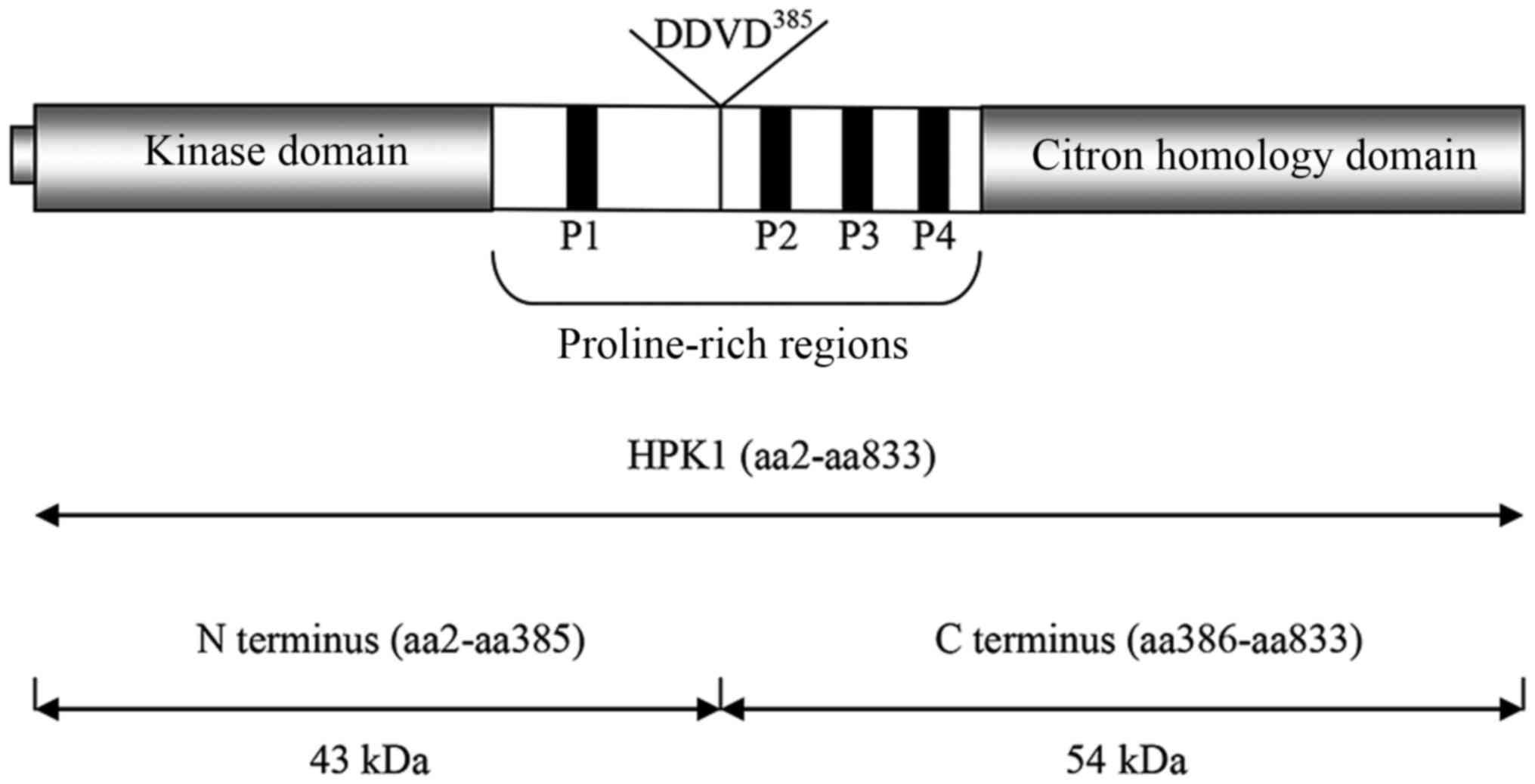 Interactions between hematopoietic progenitor kinase 1 and