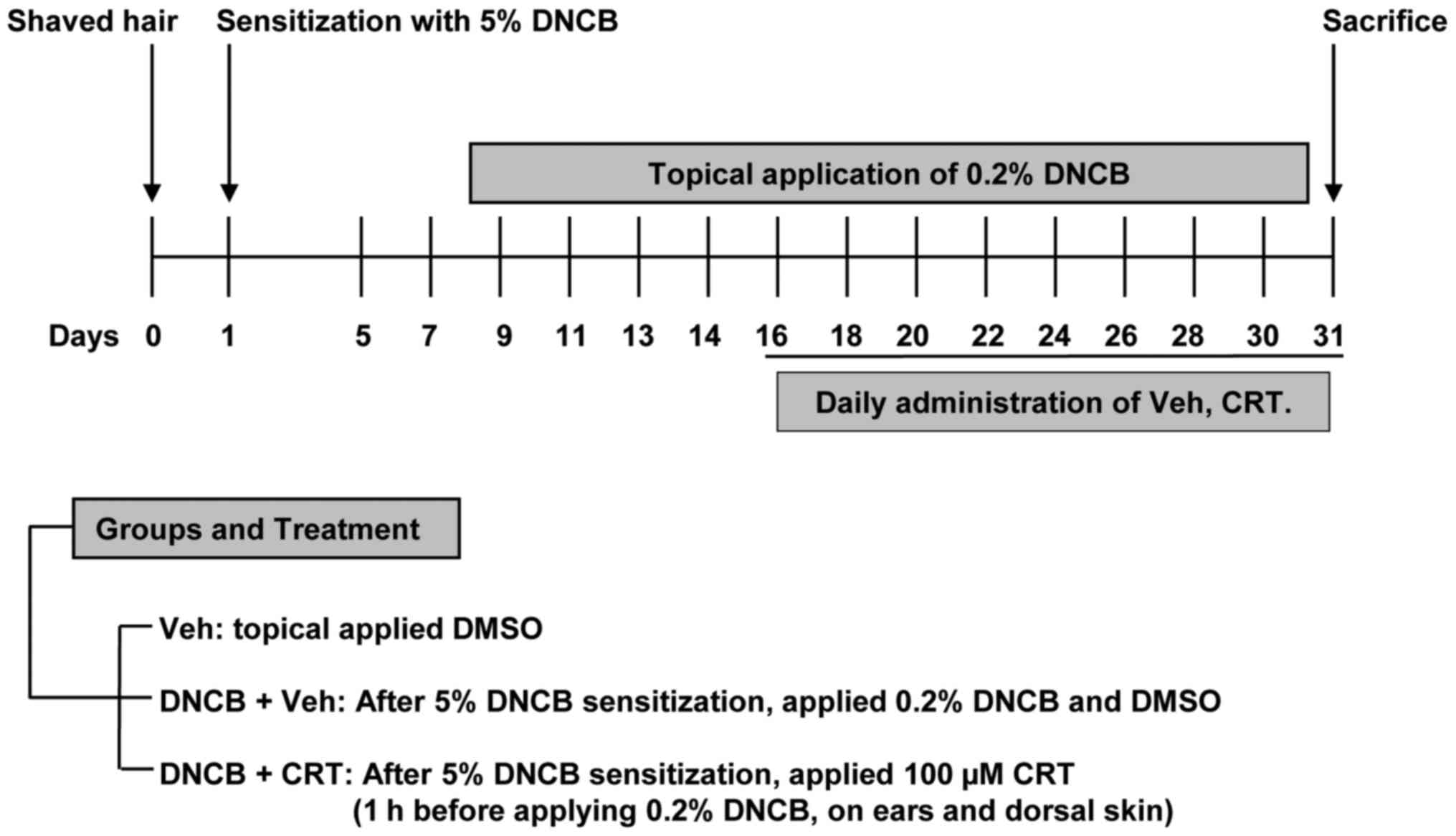 Cryptotanshinone Inhibits Igemediated Degranulation Through Crt Schematic Diagram Of Developing Dncb Induced Atopic Dermatitis Like Inflammation For Animal Experiments 6 Week Old Balb C Mice Were Divided