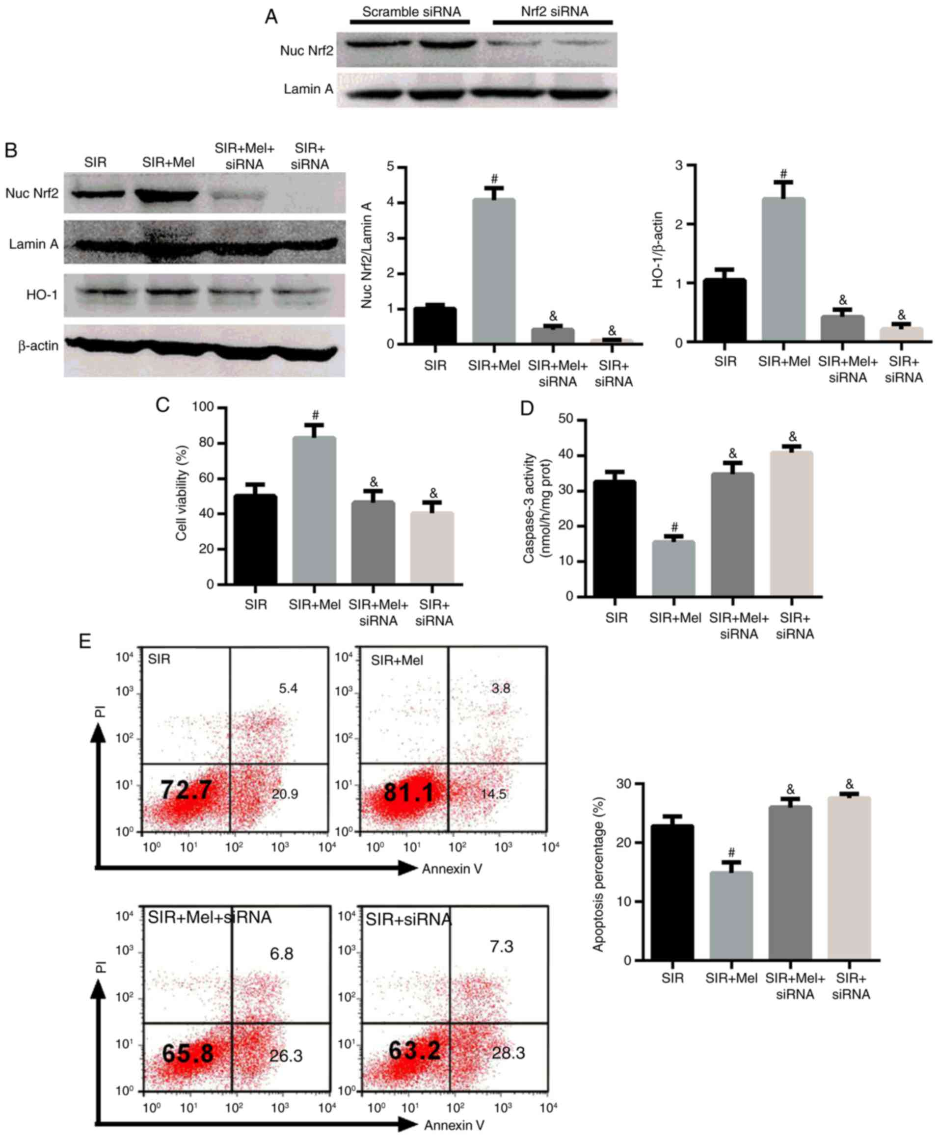 Melatonin protects H9c2 cells against ischemia/reperfusion‑induced