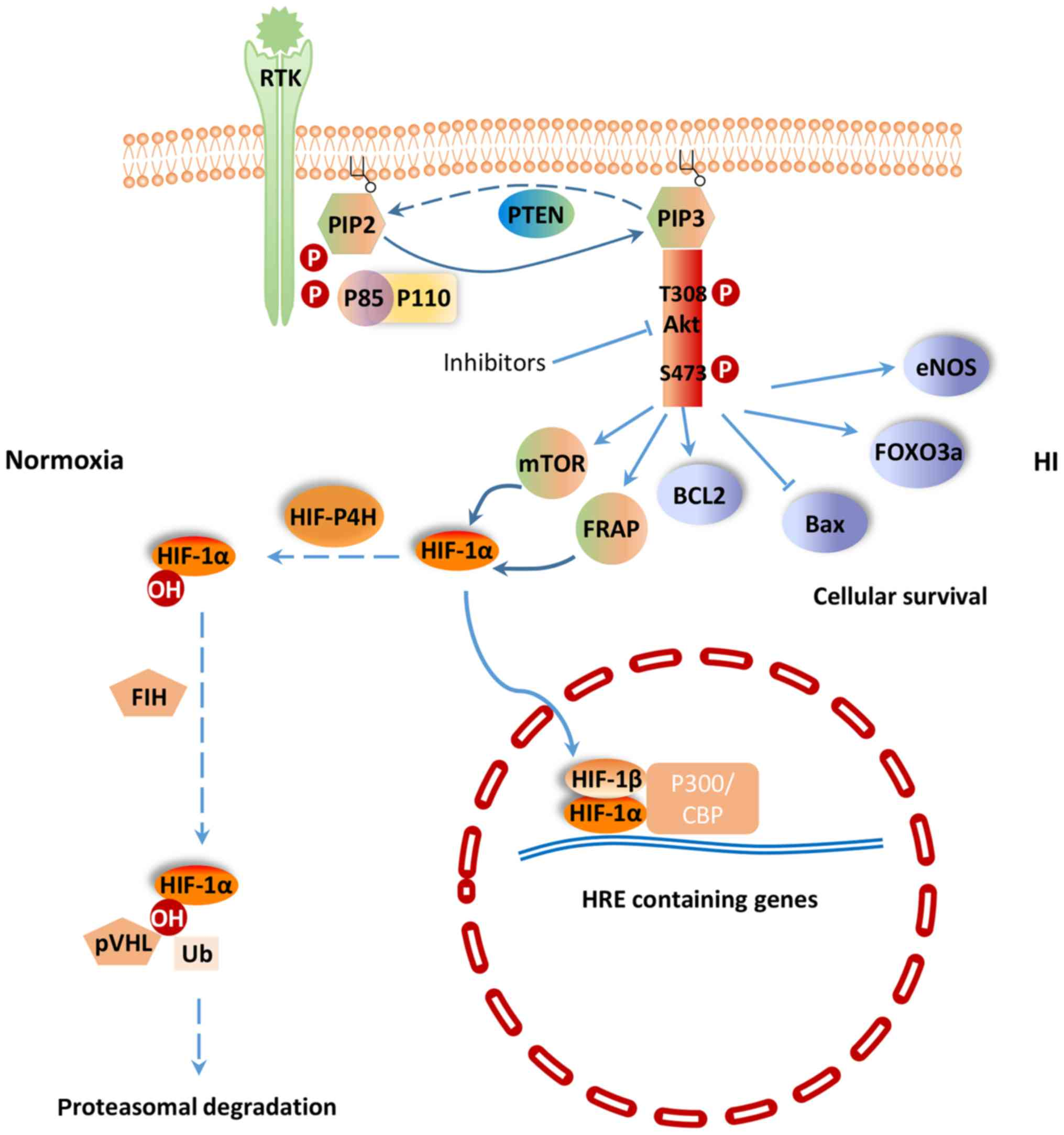 PI3K/Akt and HIF‑1 signaling pathway in hypoxia‑ischemia (Review)