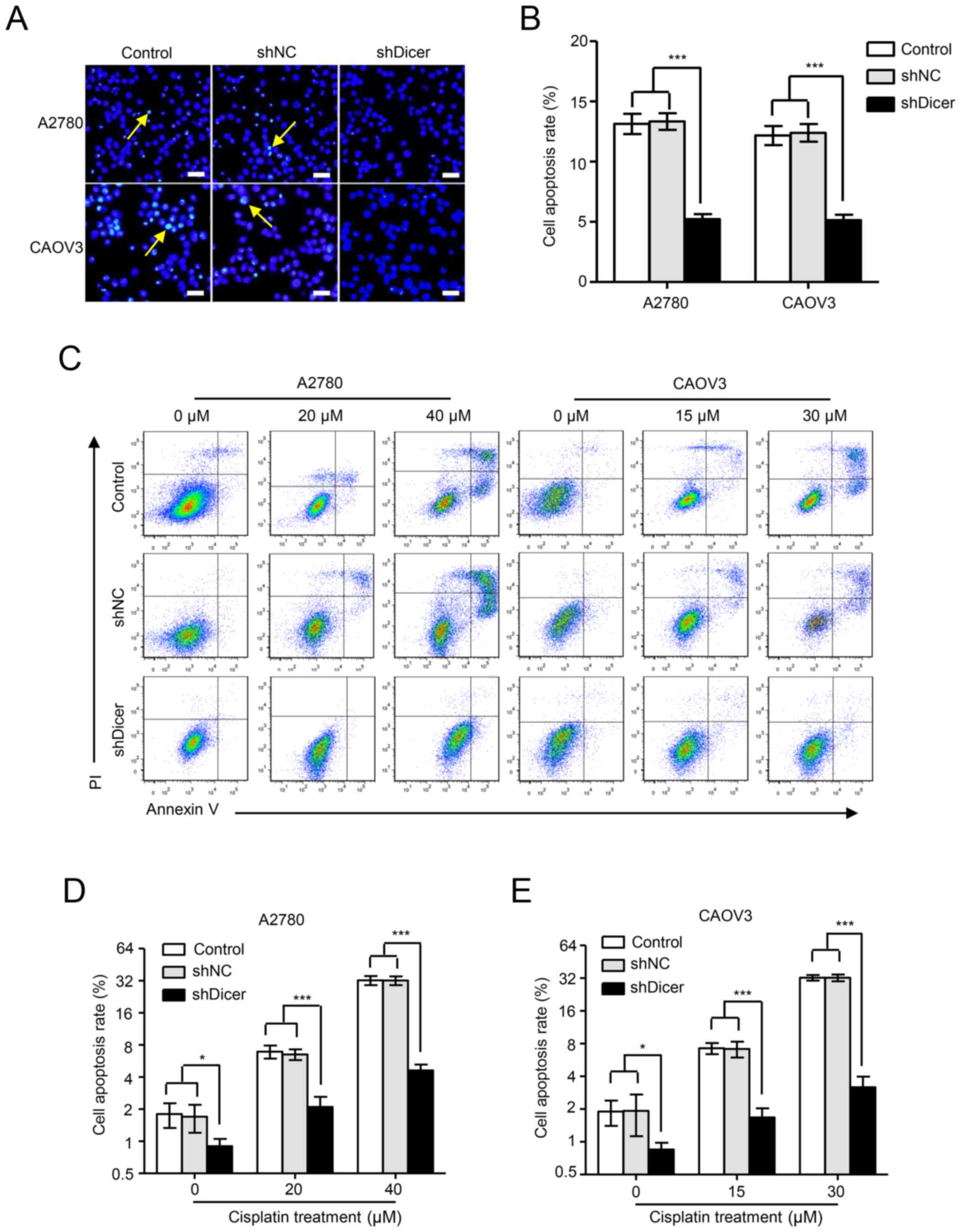 Dicer Affects Cisplatin Mediated Apoptosis In Epithelial Ovarian Cancer Cells