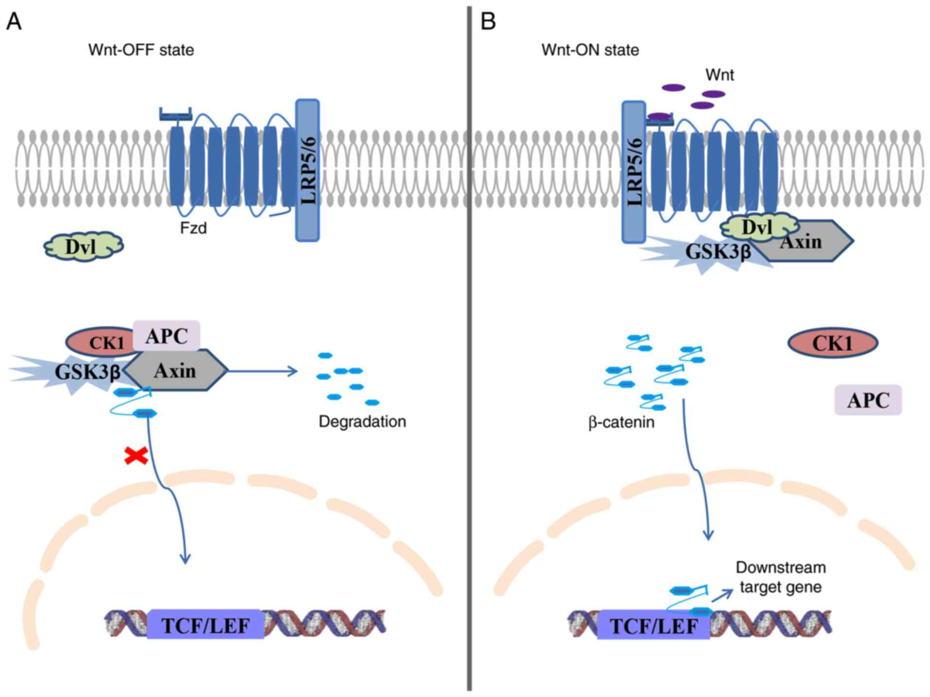 Wnt B Catenin Signaling Causes And Treatment Targets Of Drug Resistance In Colorectal Cancer Review