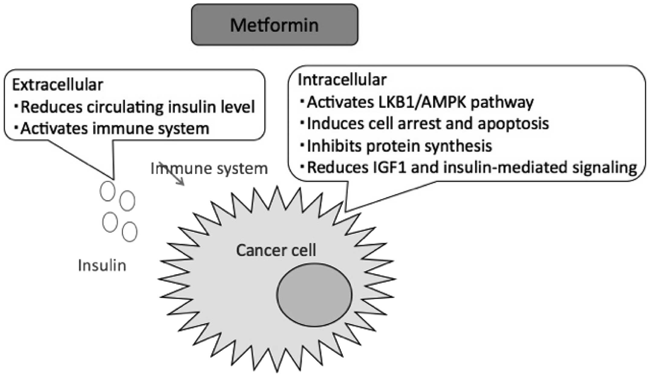 "article review metformin and cancer A commonly prescribed diabetes drug, metformin, reduces the overall cancer risk in people with type 2 diabetes, a large systematic review study finds ""type 2 diabetes increases the risk for several types of cancer,"" said lead author diego espinoza-peralta, md, an endocrinologist with mexico's."