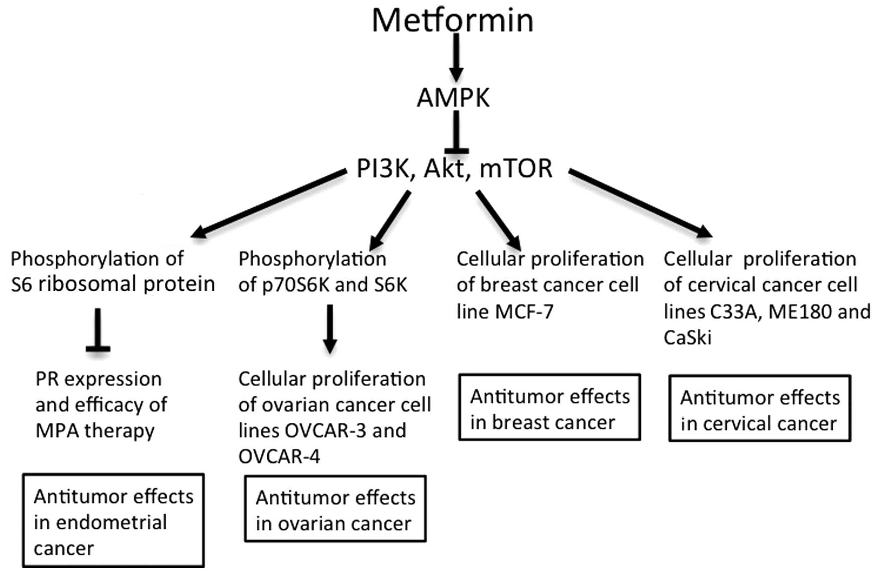Metformin: A candidate for the treatment of gynecological tumors