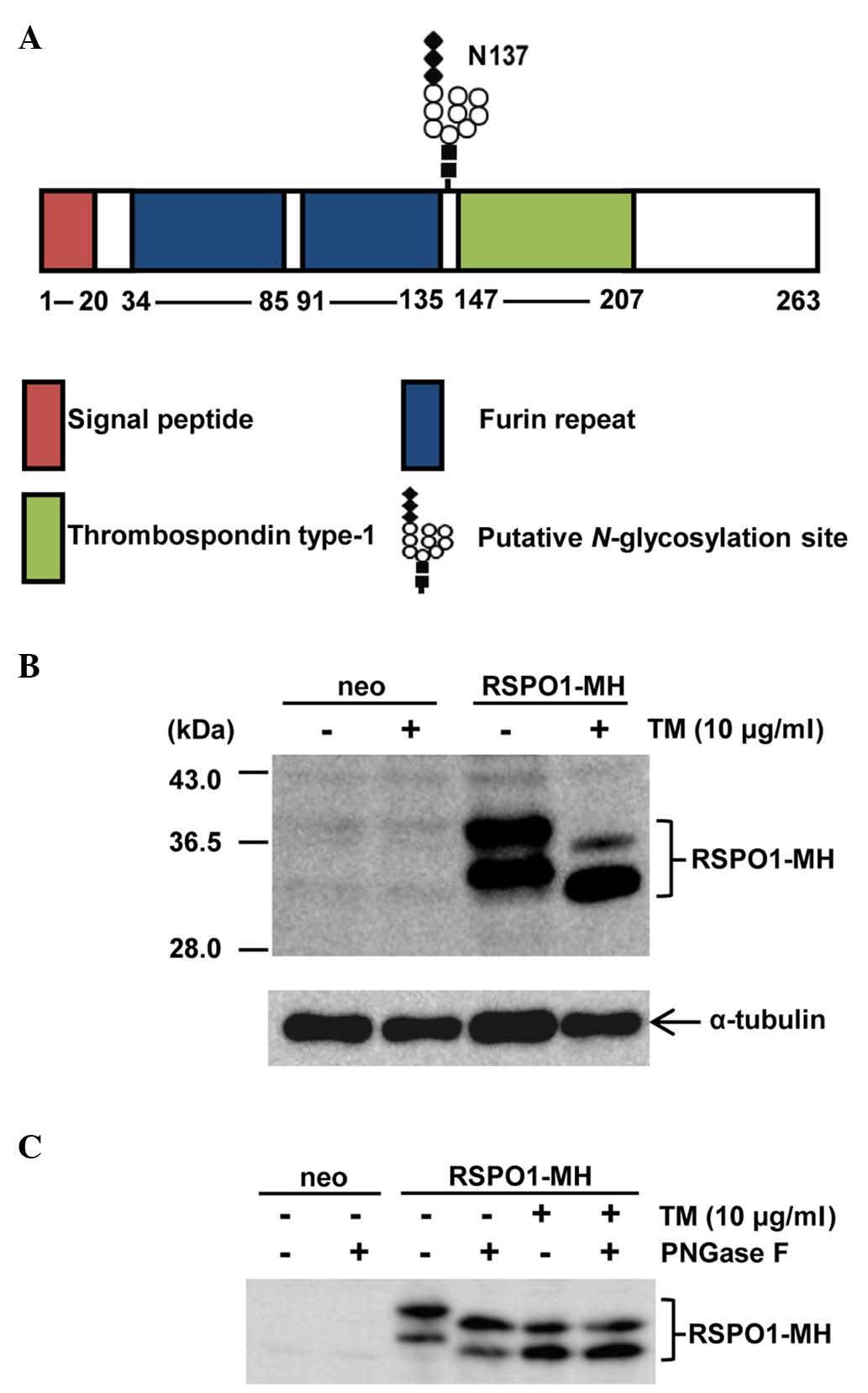 N U2011glycosylation Of R U2011spondin1 At Asn137 Negatively