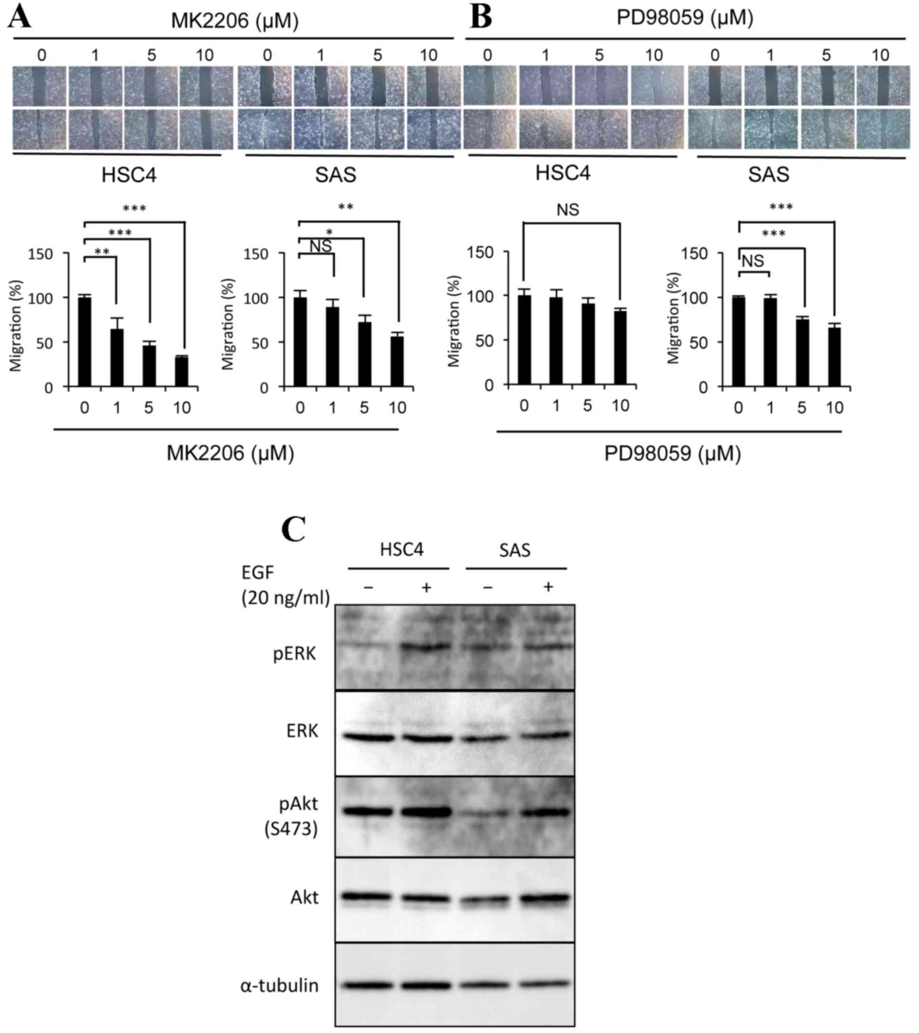 Figure 2. The EGF EGFR Signaling Pathway Induces The Migration Of SAS Cells  Via Akt Phosphorylation. The Effects Of (A) MK2206 Or (B) PD98059 Treatment  On ...