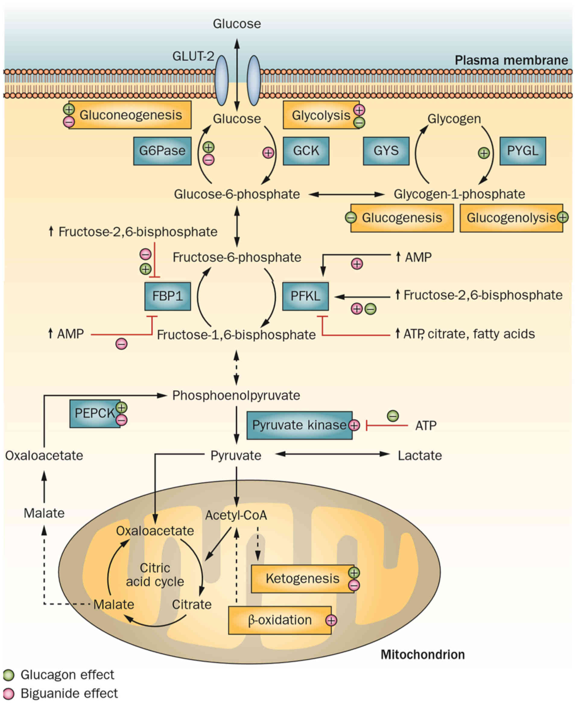 article review metformin and cancer Journal of experimental & clinical cancer research  we will also address some questions that are relevant to treatment with metformin the main part of this review .