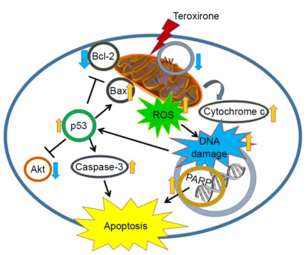 Reactive oxygen species-driven mitochondrial injury induces