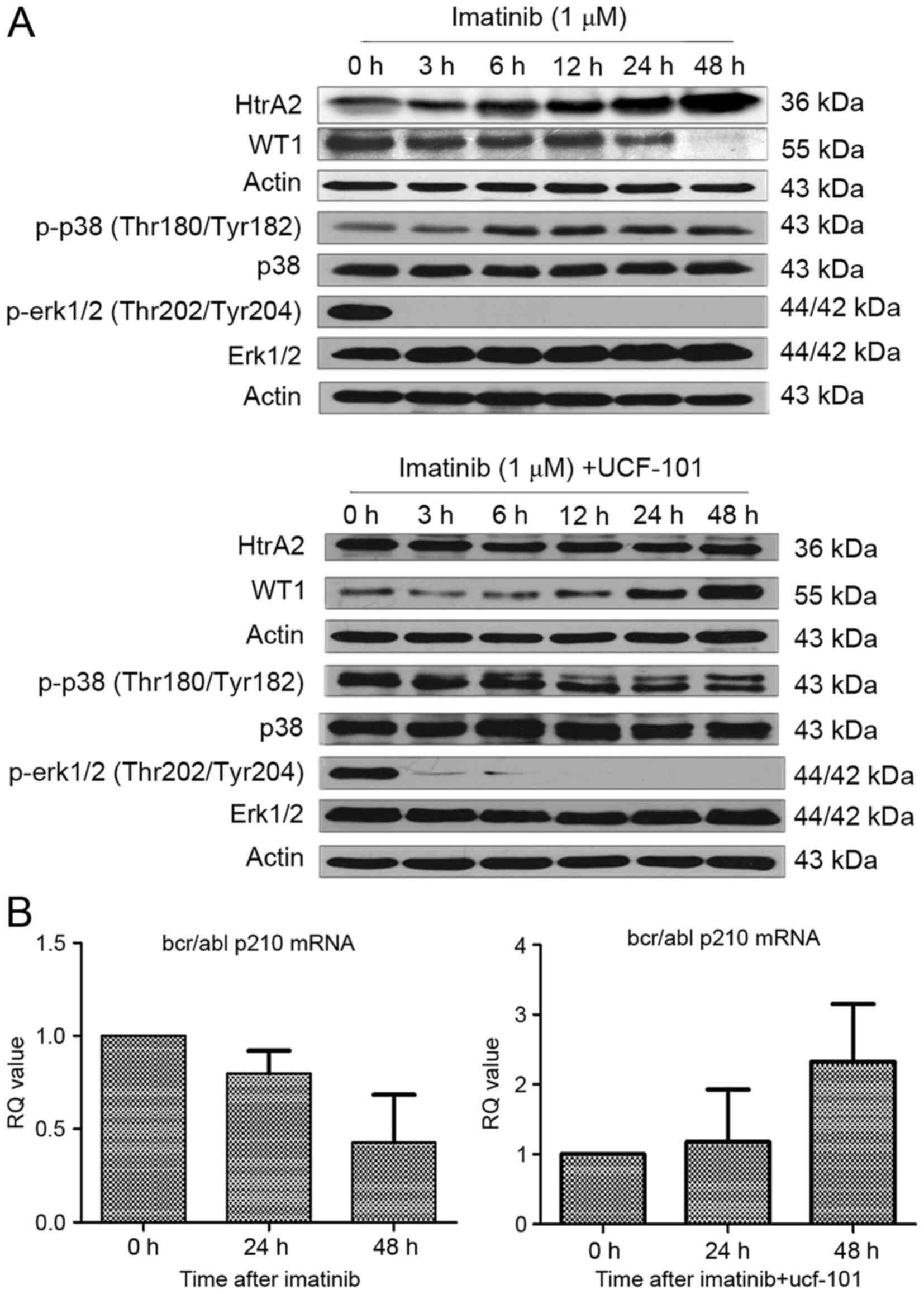 Regulation of HtrA2 on WT1 gene expression under imatinib