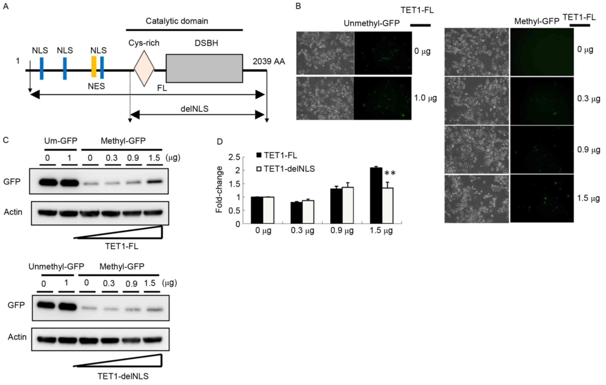 Ten Eleven Translocation 1 Dysfunction Reduces 5 Generated Using Eagle Schematic Software The Formatted A Diagrams Of Tet1 Expression Constructs For Full Length And Delnls Ags Cells Were Co Transfected With Methylated Gfp Or Unmethylated