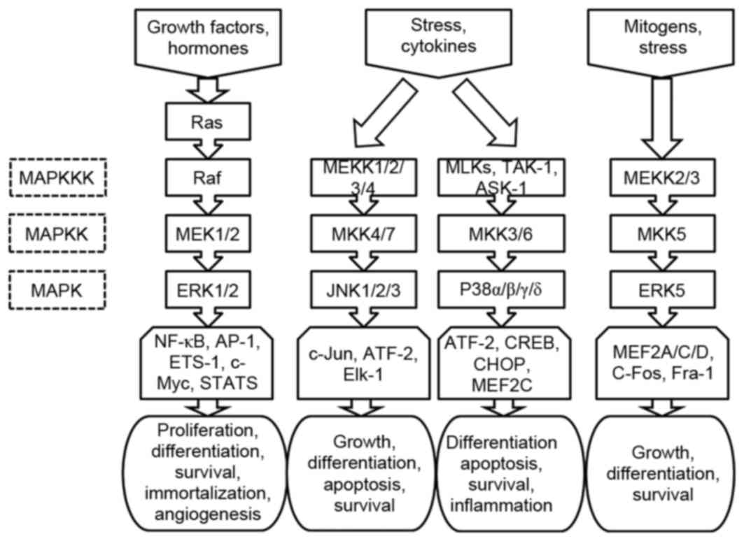Mitogen-activated protein kinase signaling pathway in oral