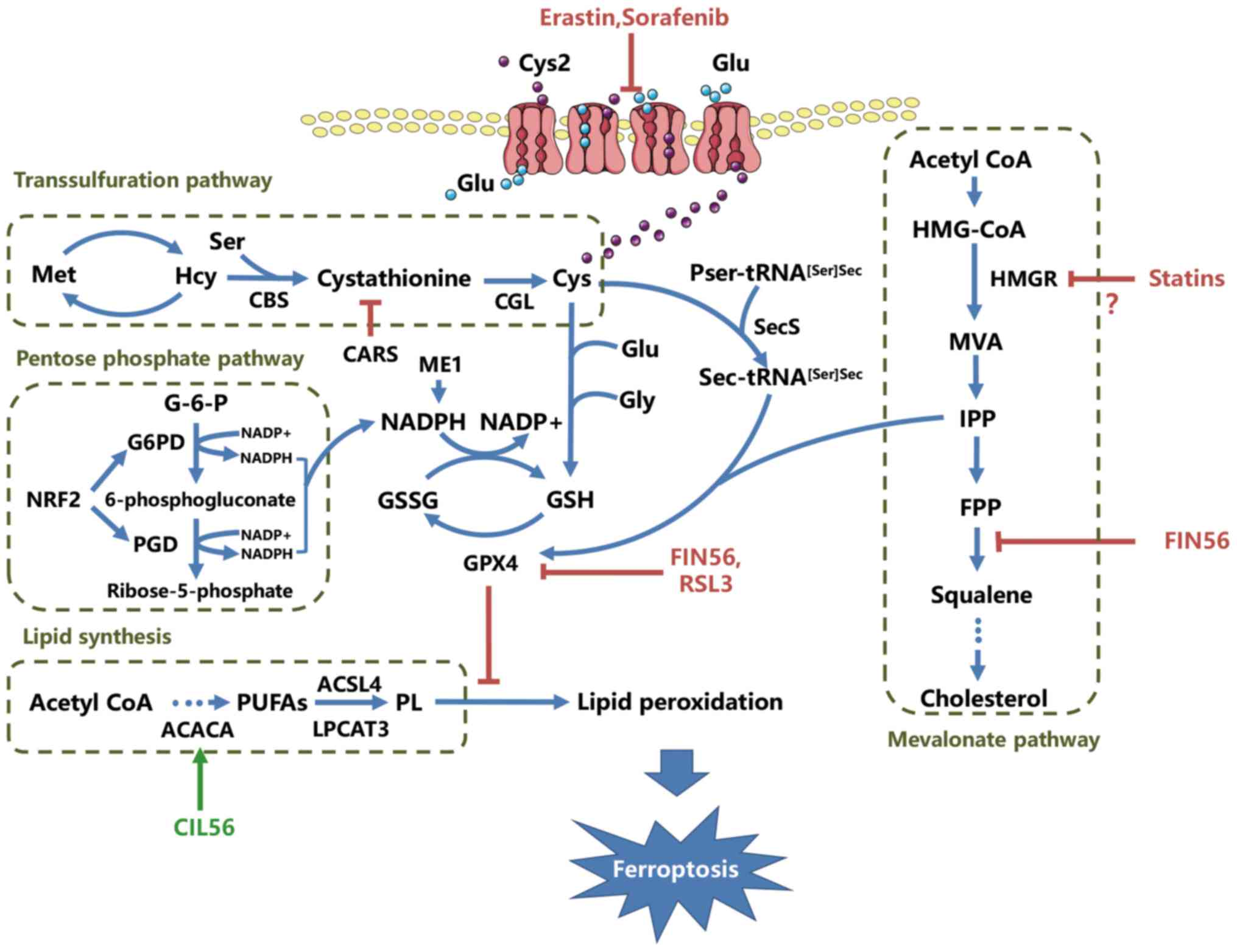 Metabolic networks in ferroptosis (Review)