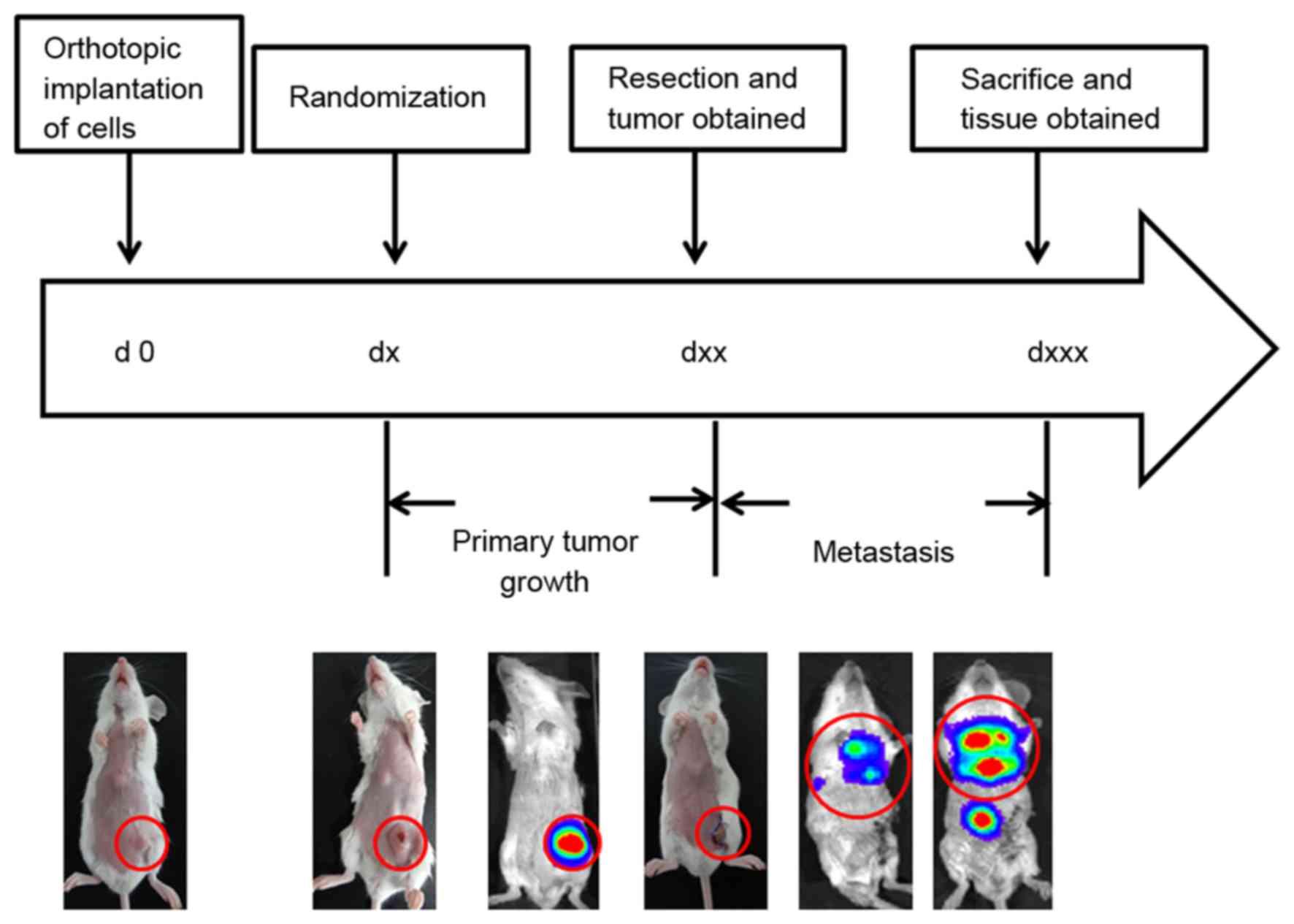 Loss of Tsc2 in PyMT mice increases pulmonary metastasis