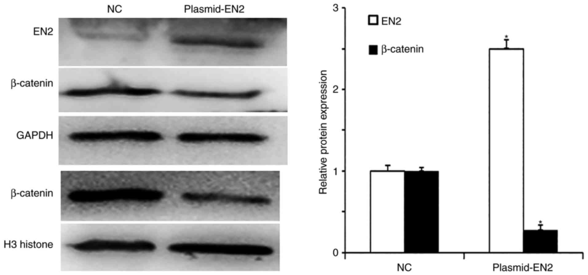 Expression of engrailed homeobox 2 regulates the