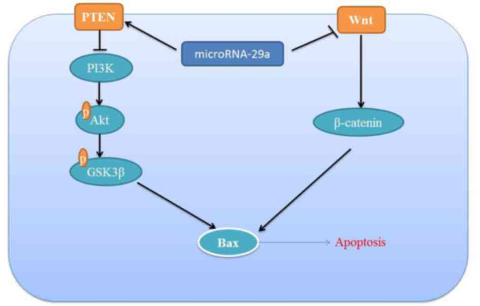 miRNA‑29a inhibits colon cancer growth by regulation of the PTEN/Akt