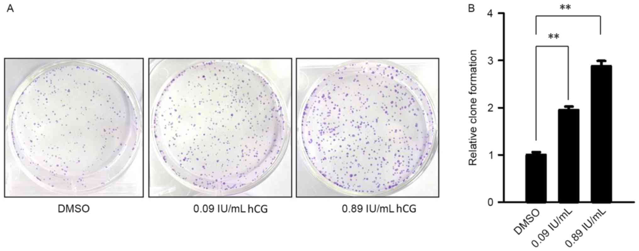 Human chorionic gonadotropin promotes cell proliferation