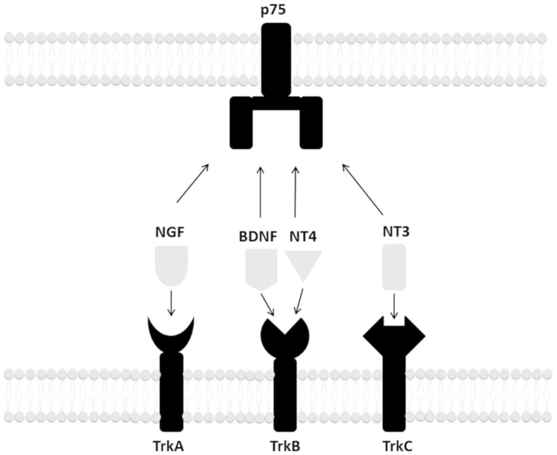 Targeting the BDNF/TrkB pathway for the treatment of tumors (Review)
