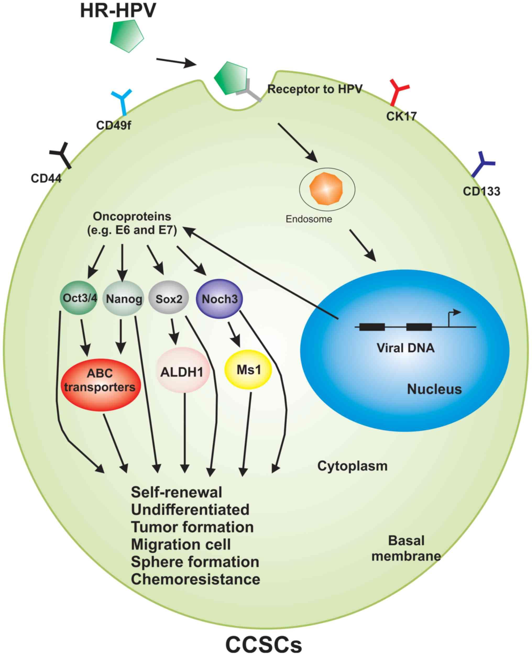 Hpv tumor model, Dysbiosis from antibiotics