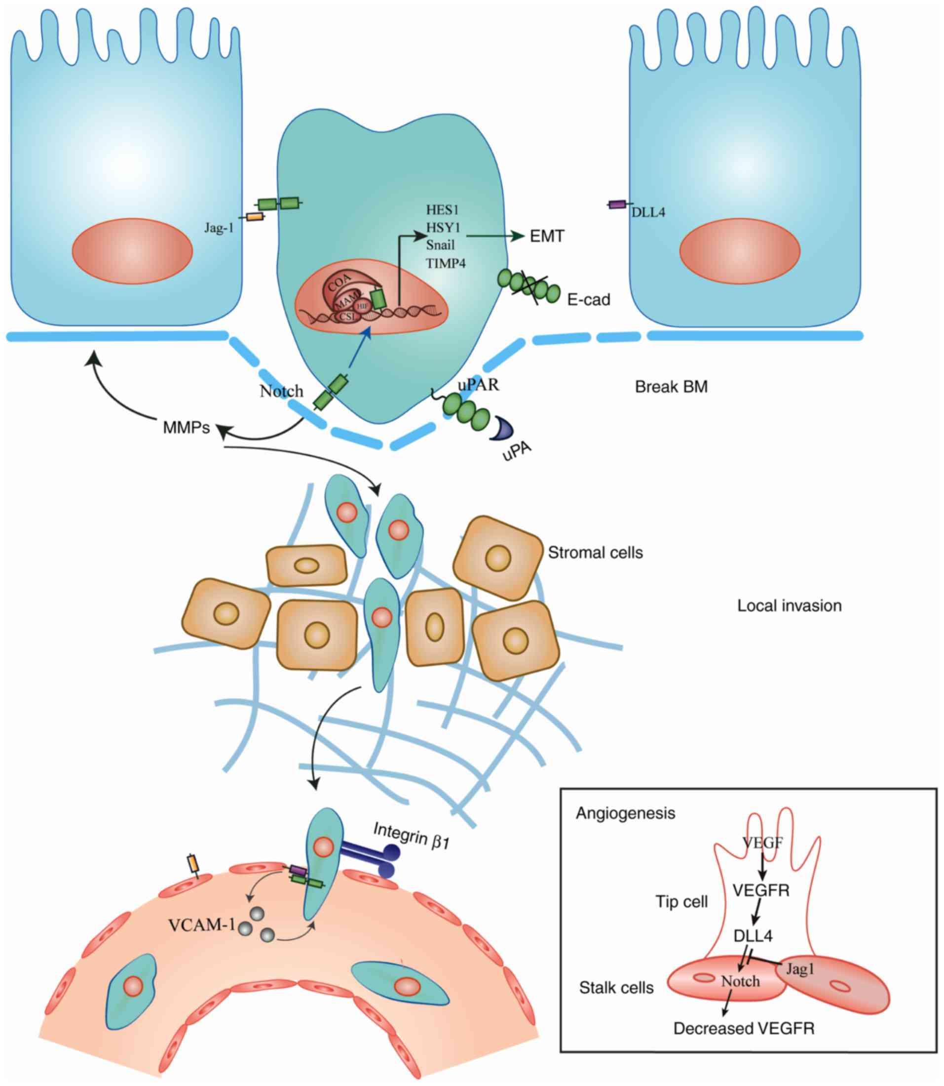 Granulocyte Macrophage Colony-Stimulating Factor Inhibits