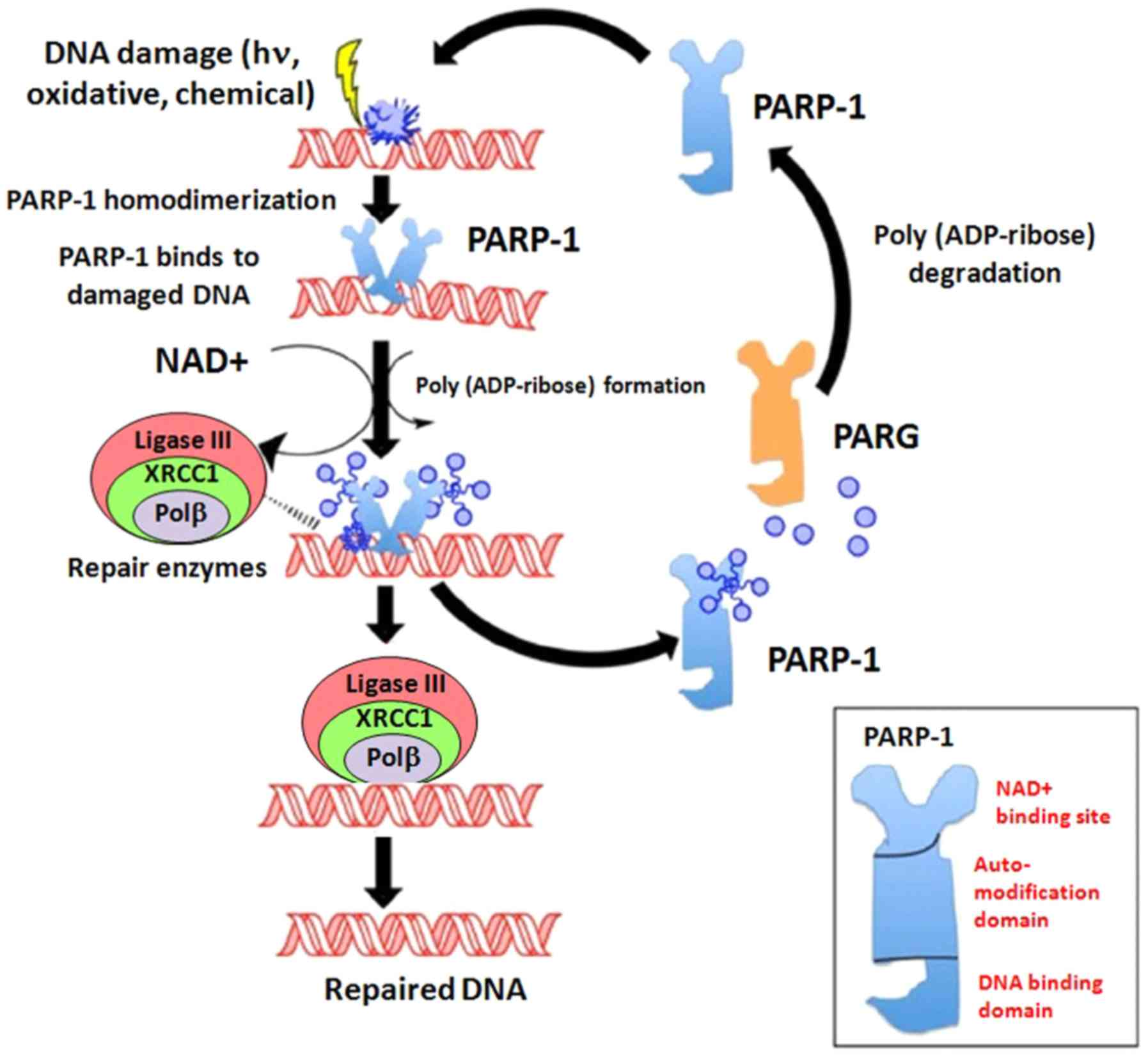 Parp Inhibitors And Epithelial Ovarian Cancer Molecular Mechanisms Clinical Development And Future Prospective Review