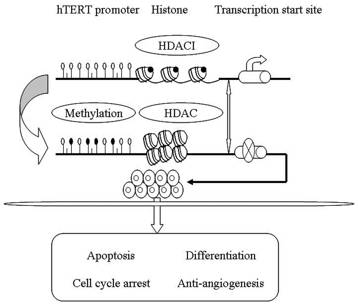 Epigenetic regulation of the human telomerase reverse ...