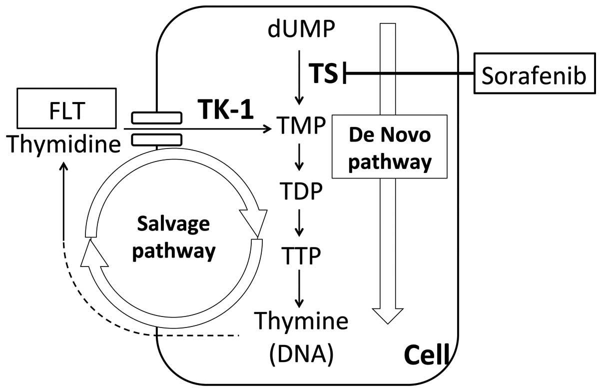semisynthesis of human thymidine monophosphate kinase Transformation of thymidine to thymidine monophosphate (tmp) in the presence of adenosine triphosphate (atp) however, it uses either exogenous thymidine from food or the endogenous.